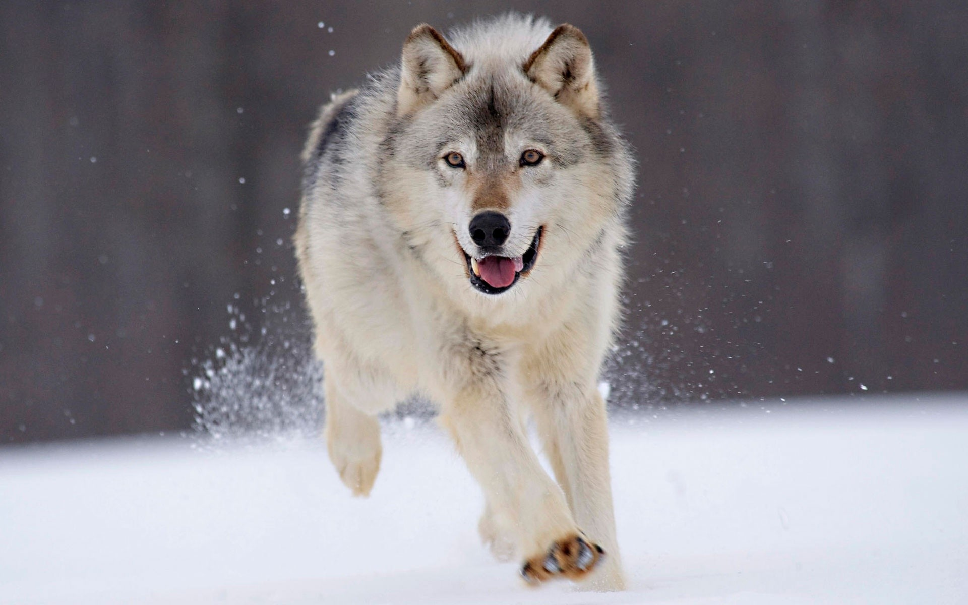 1920x1200 best wolf pictures wallpaper