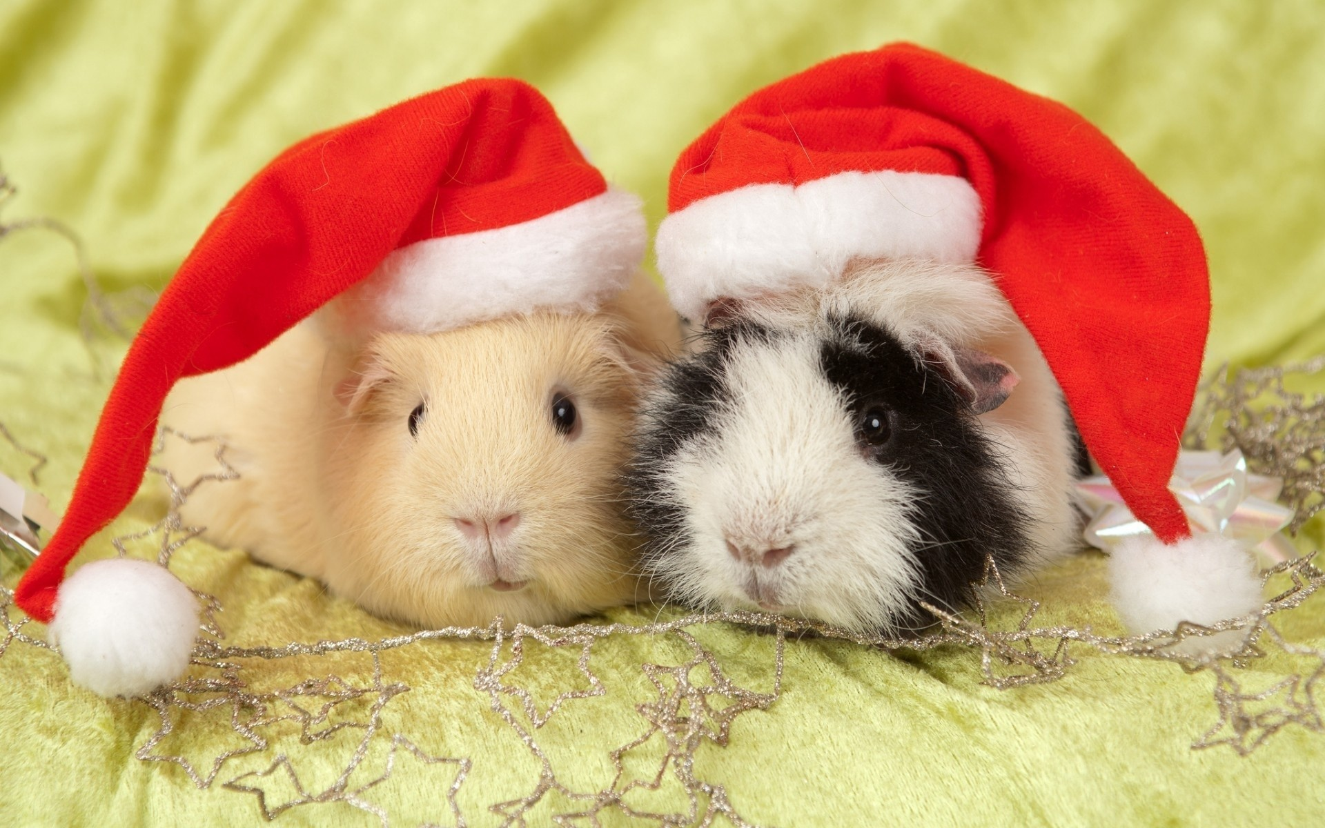 Want Cute funny guinea pig pictures