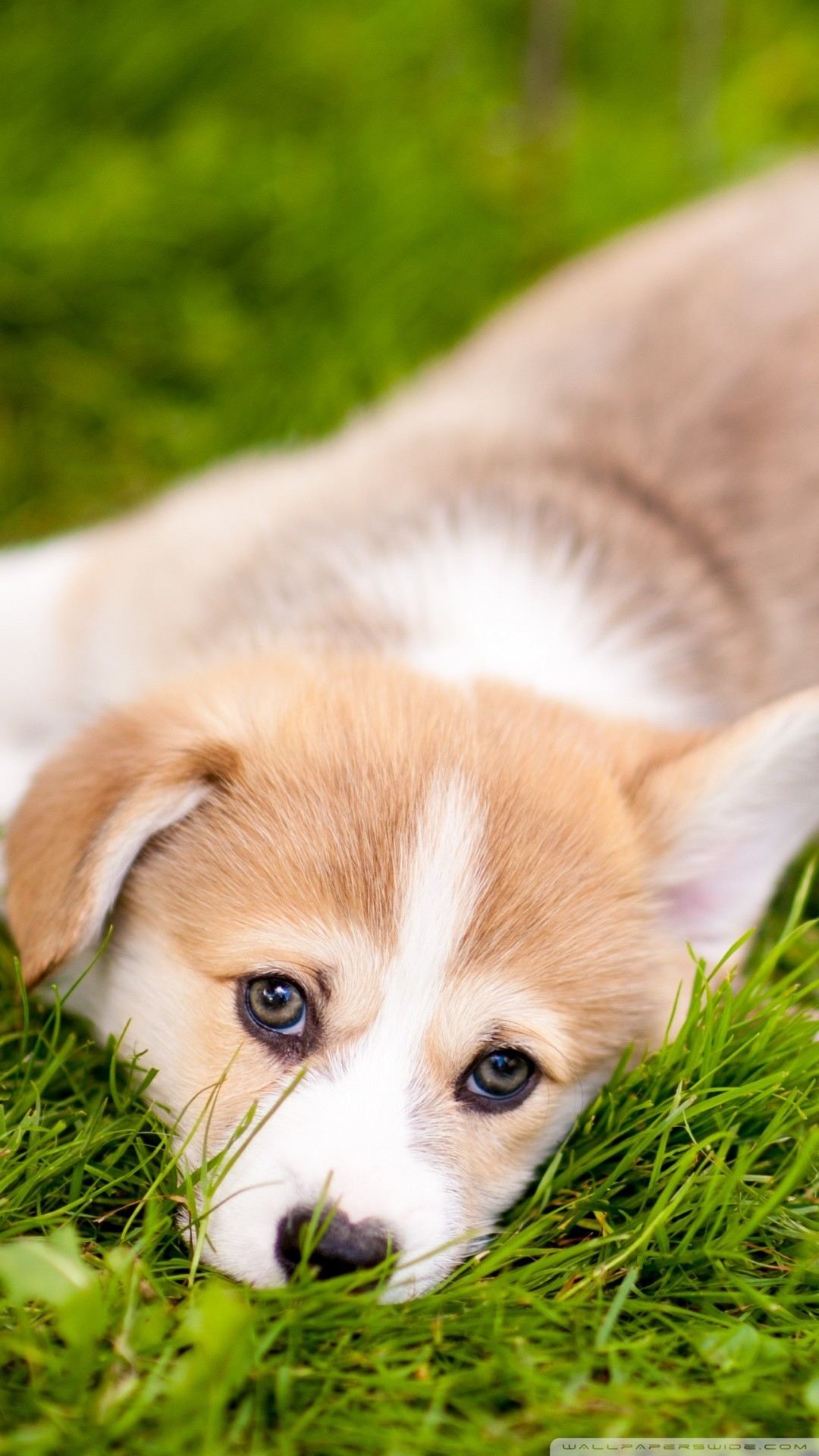 Corgi Puppies Wallpaper 54 Images