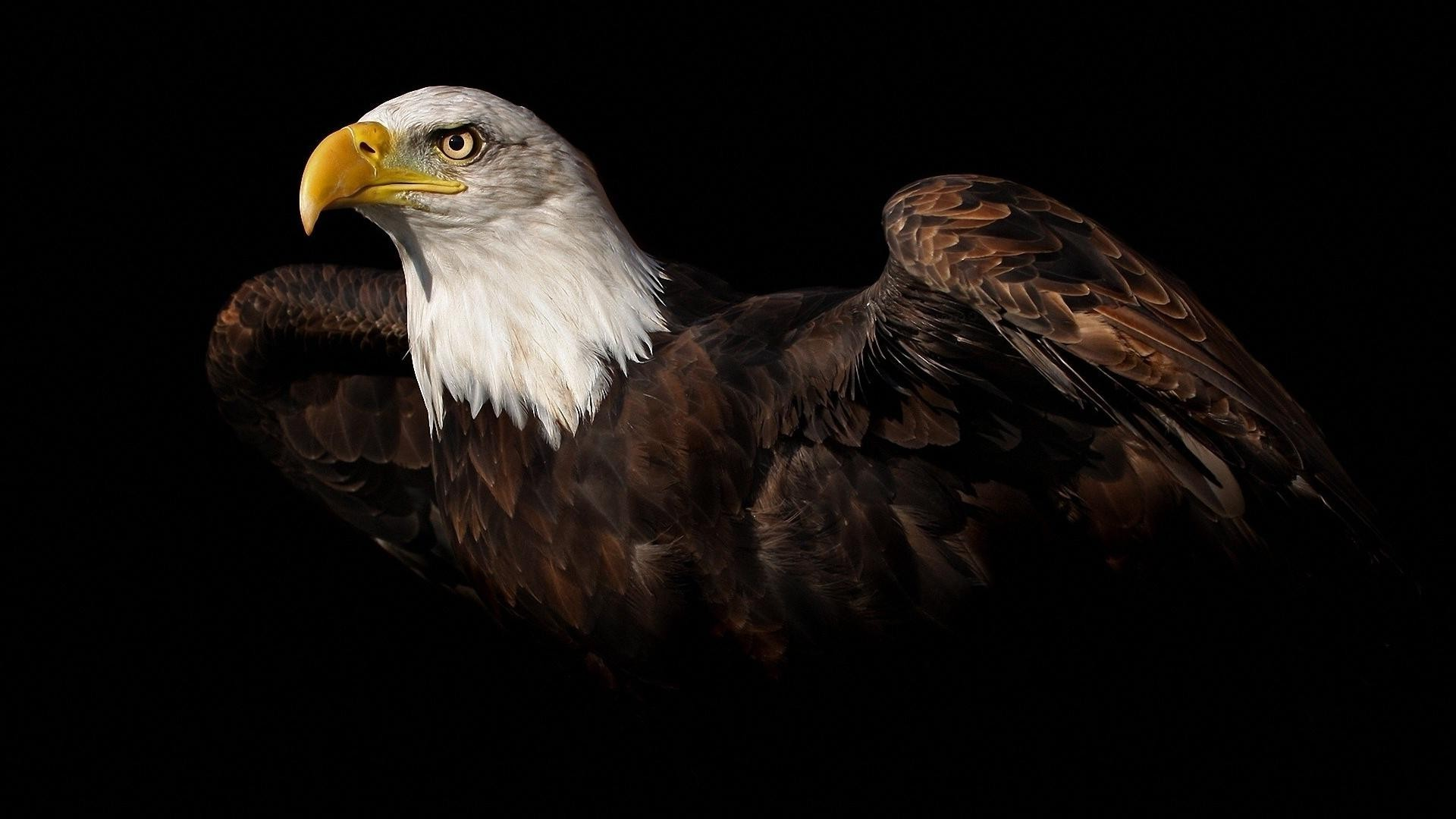 1920x1080 Bald Eagle Wallpaper HD Images 5