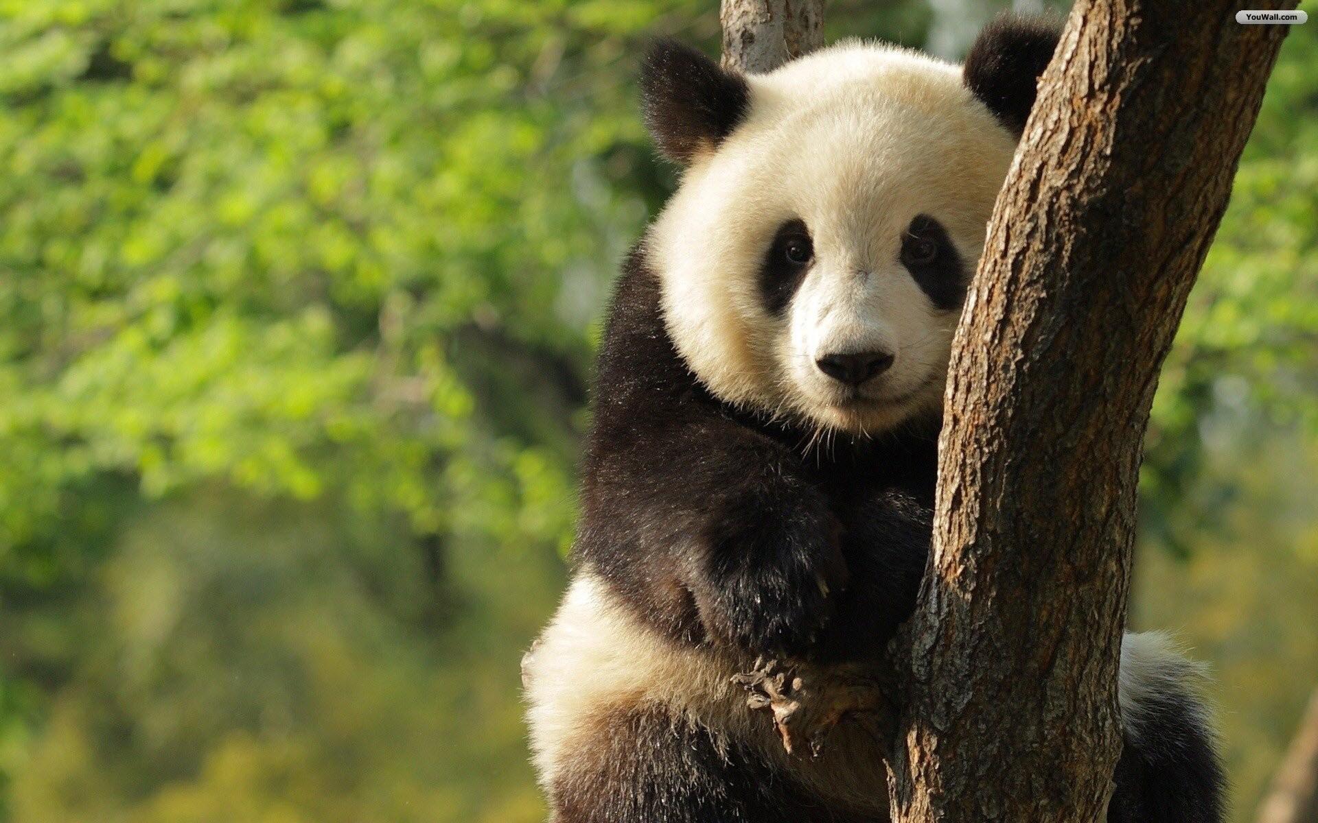 высокого фото разрешения панд