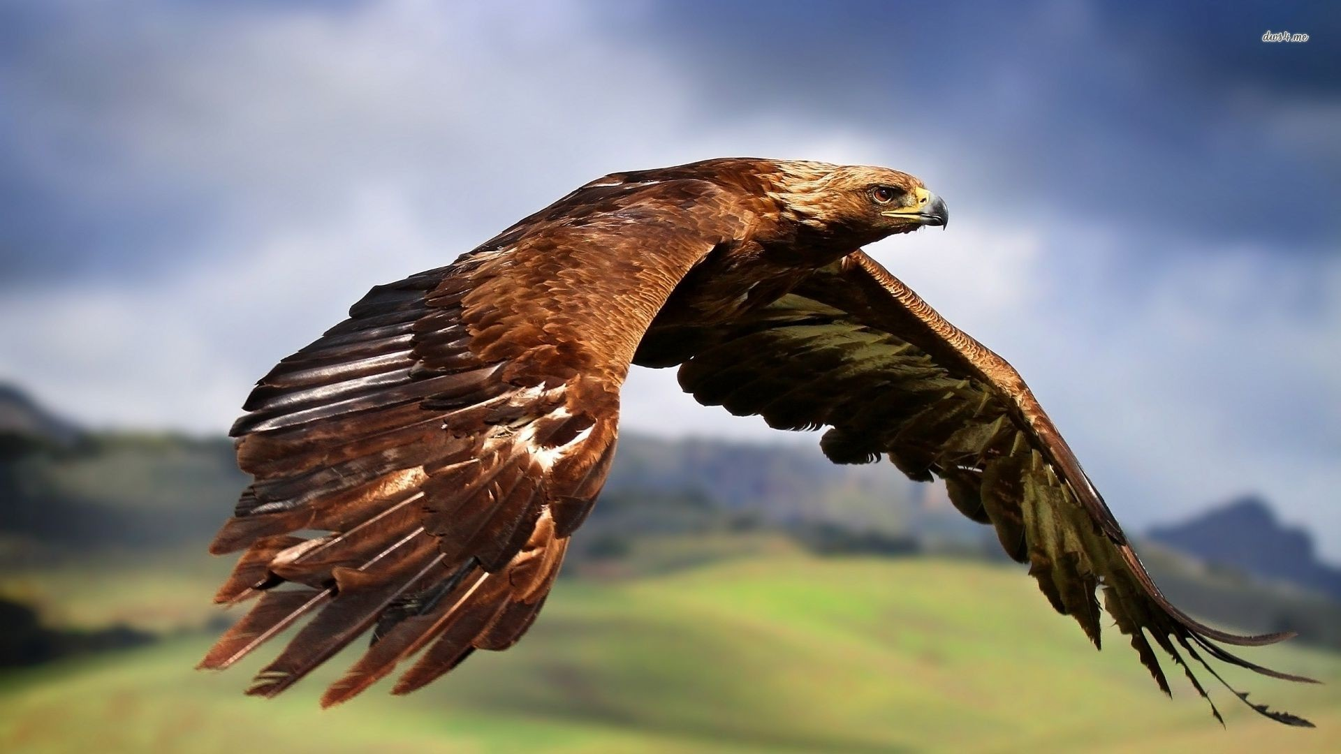 1920x1080 Golden Eagle wallpaper hd