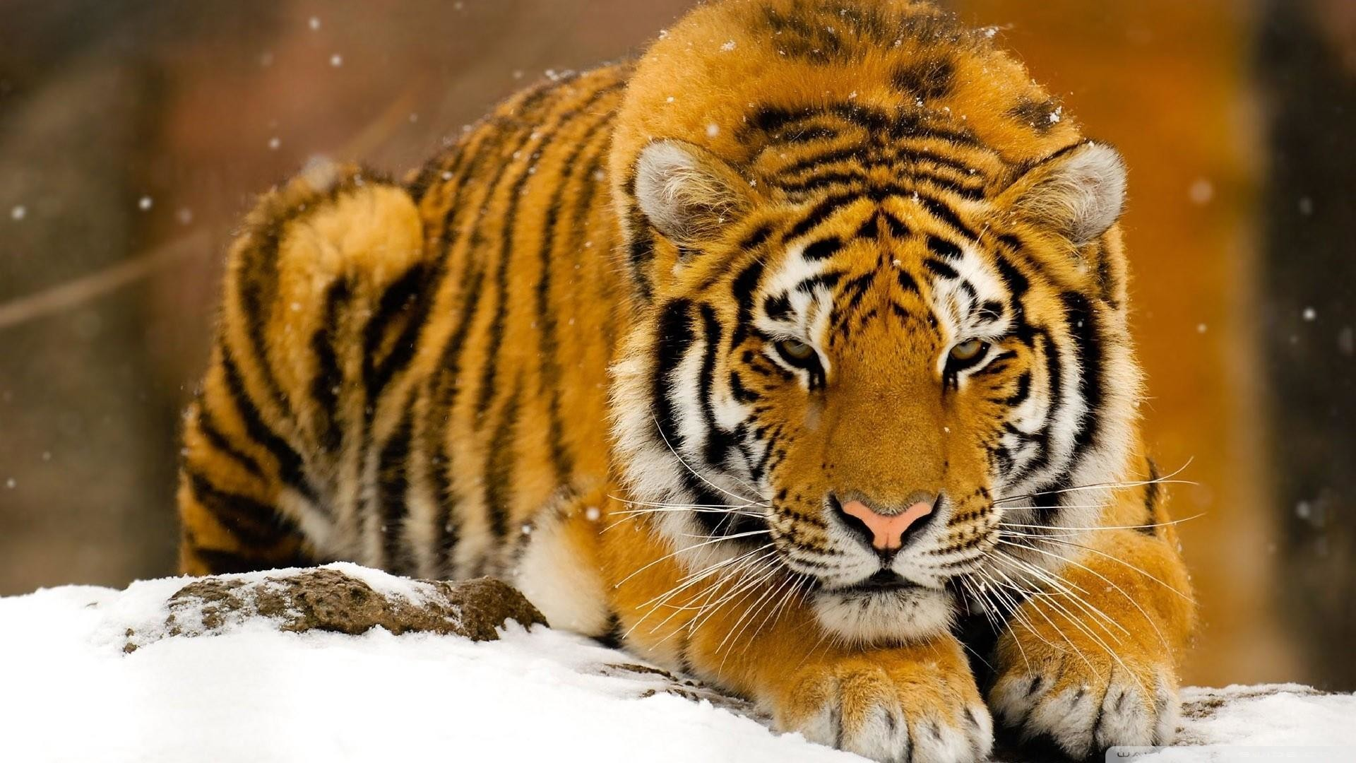 1920x1080 Siberian Tiger in the snow wallpaper