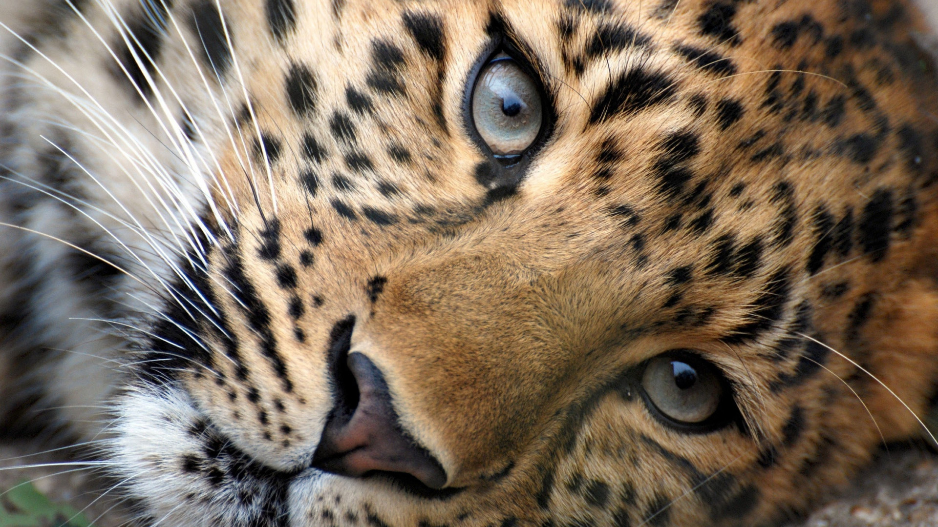1920x1080 ... Download Wallpaper  Leopard Face Eyes Big cat Full HD