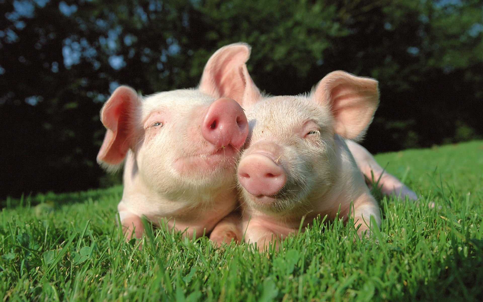 Baby Pigs Wallpapers 60 Images