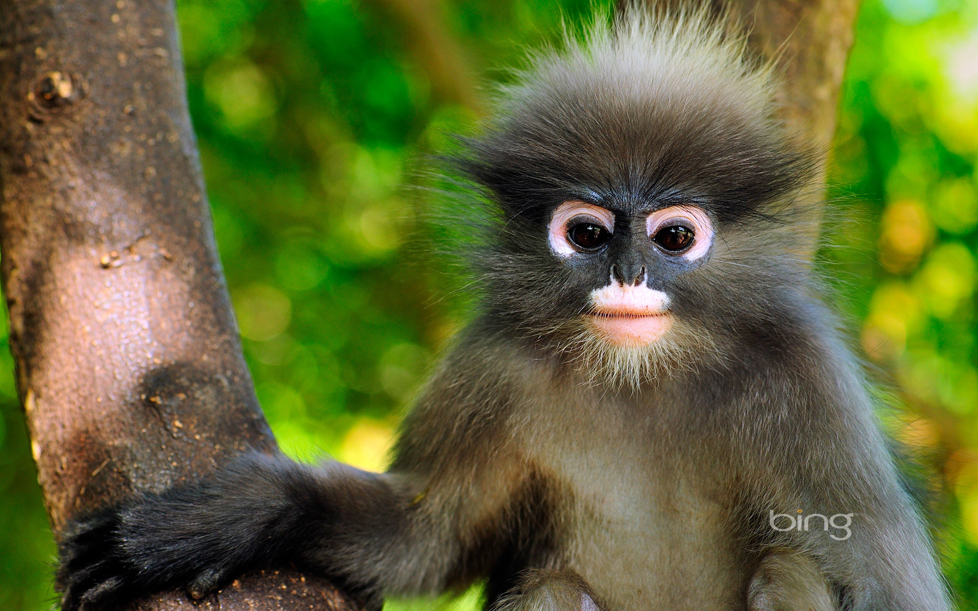 1920x1200 Animal - Dusky Leaf Monkey Monkey Cute Wallpaper