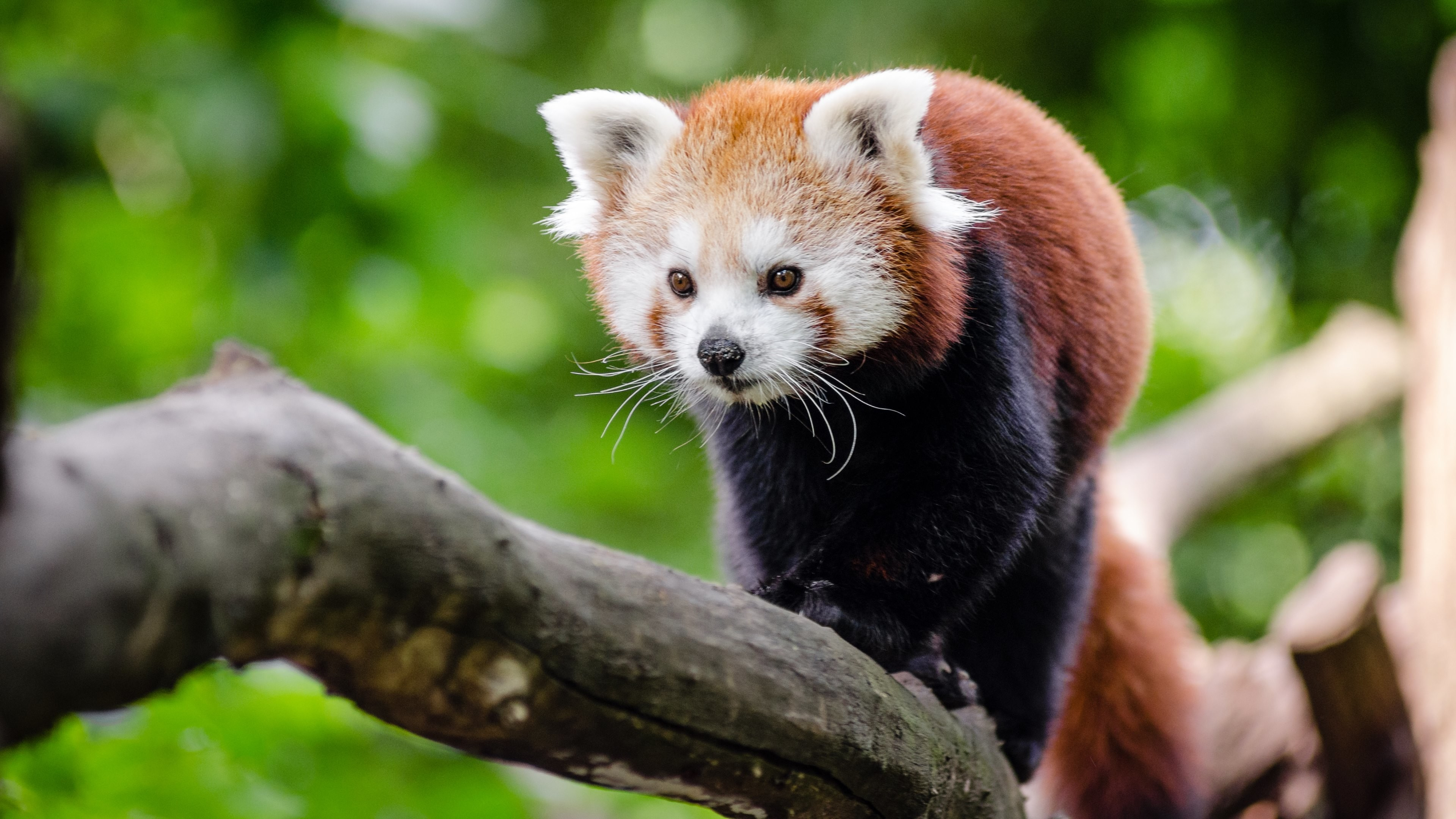 3840x2160 HTC, Samsung Galaxy & iPhone: 1080x1920 (compatible with many phones).  Wallpaper 2: Red Panda