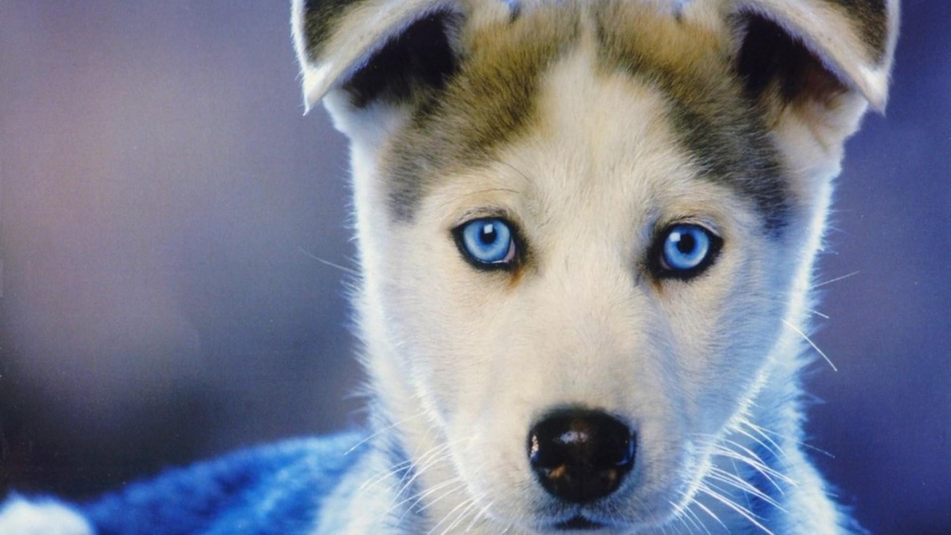 Baby Huskies Wallpaper (79+ images) Baby Siberian Husky Puppies