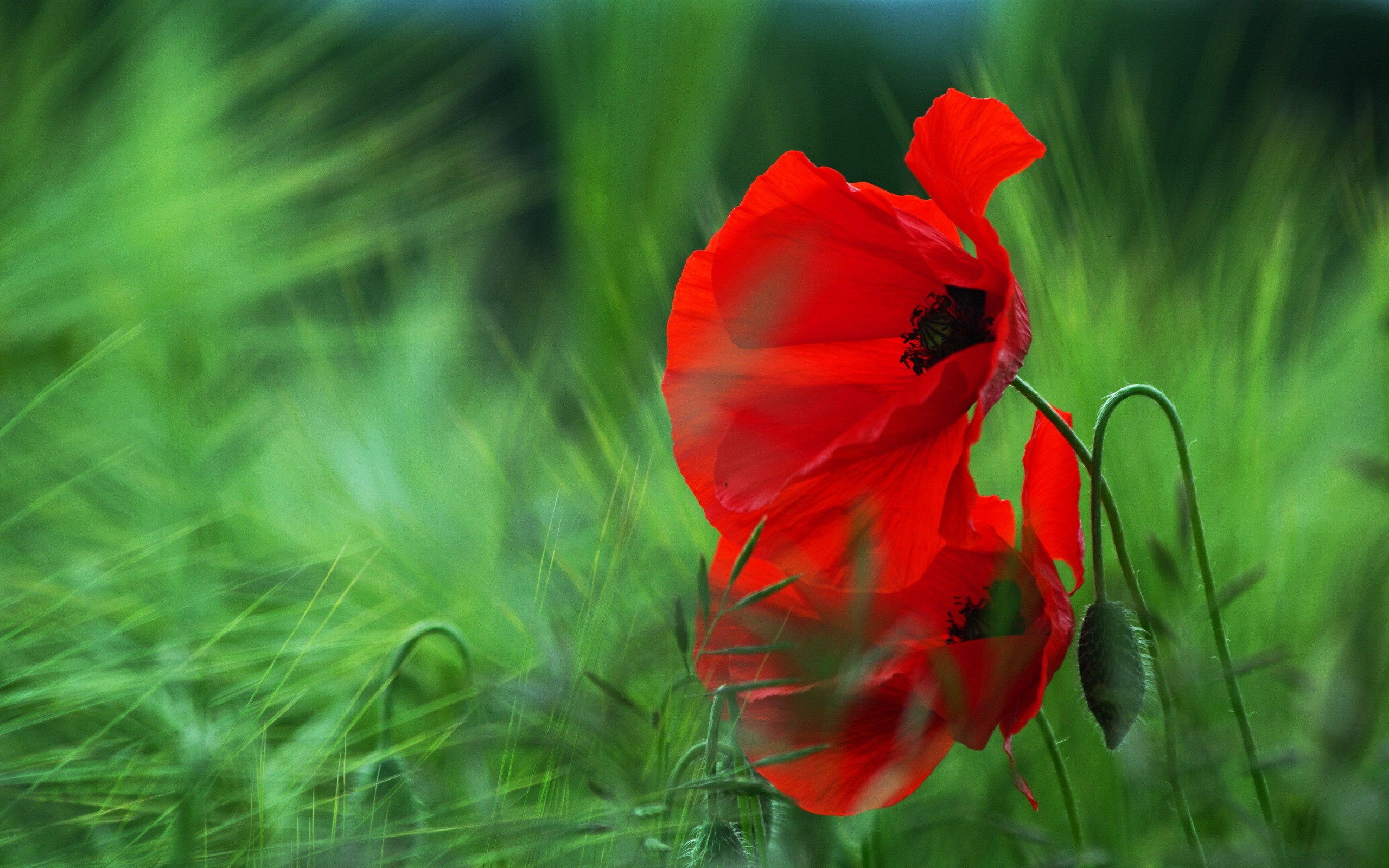 2560x1600 HD Wallpaper | Background Image ID:434174.  Earth Poppy