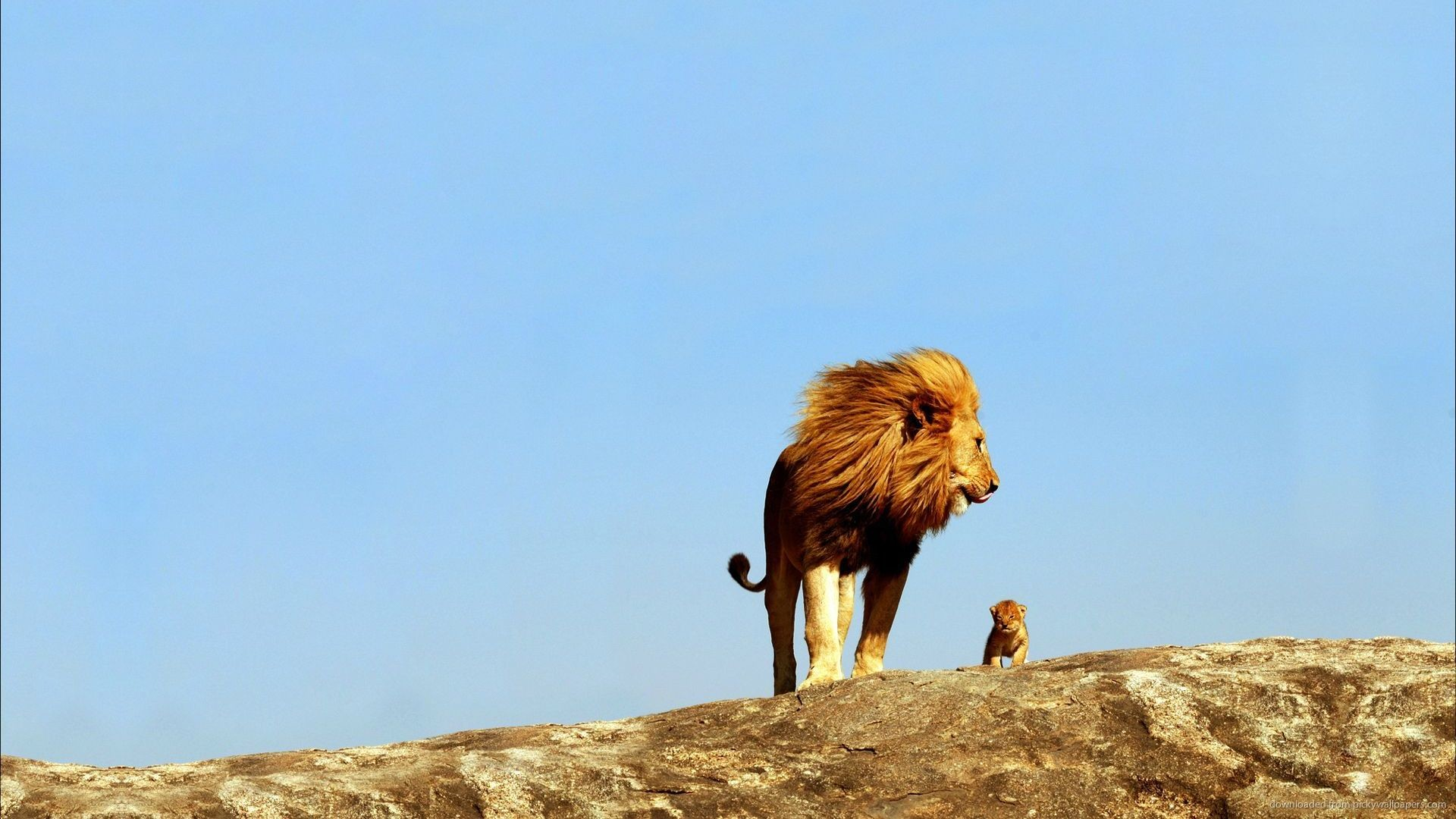 1920x1080 Real Life Lion King picture