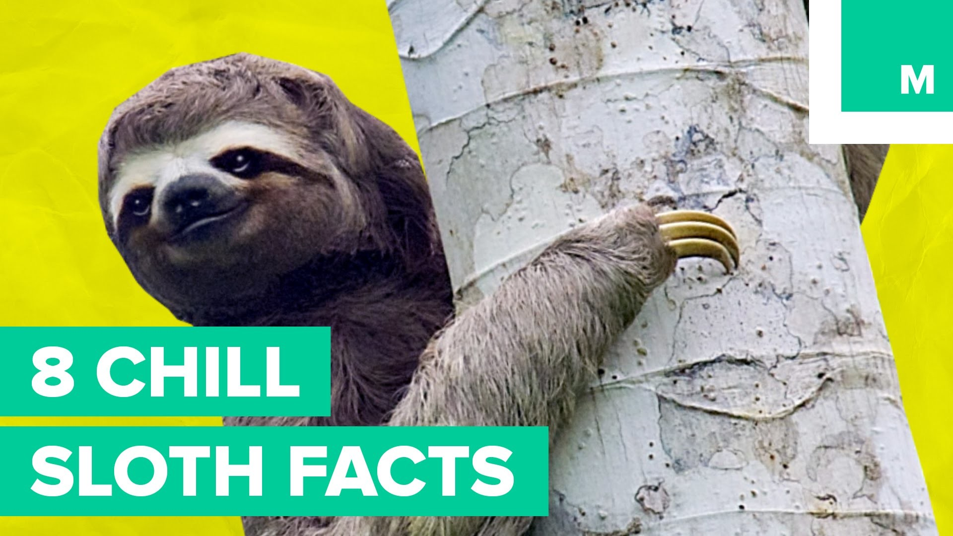 1920x1080 8 Chill Sloth Facts | Fuzzy Friday