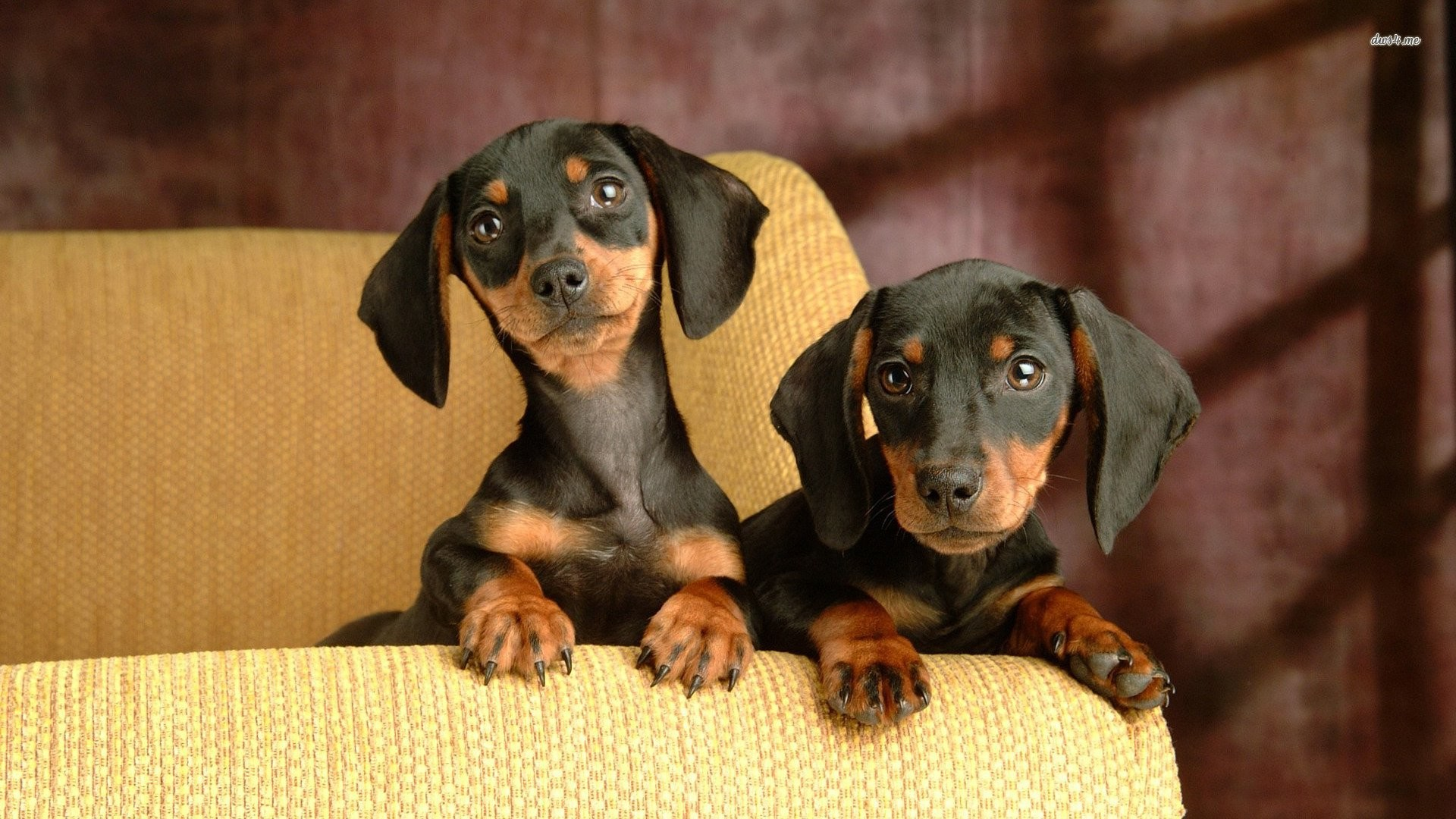 1920x1080 Dachshund Puppies 278546