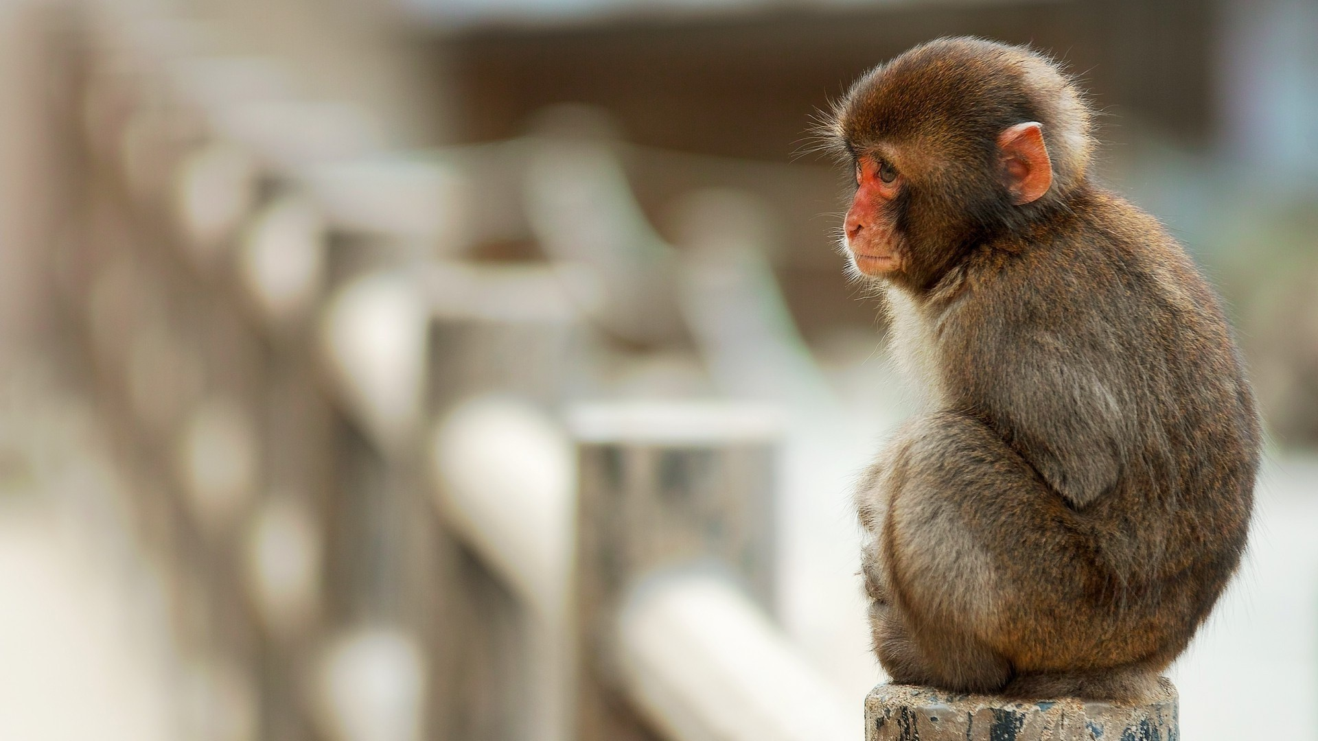 1920x1080 undefined Monkey Wallpaper (46 Wallpapers) | Adorable Wallpapers