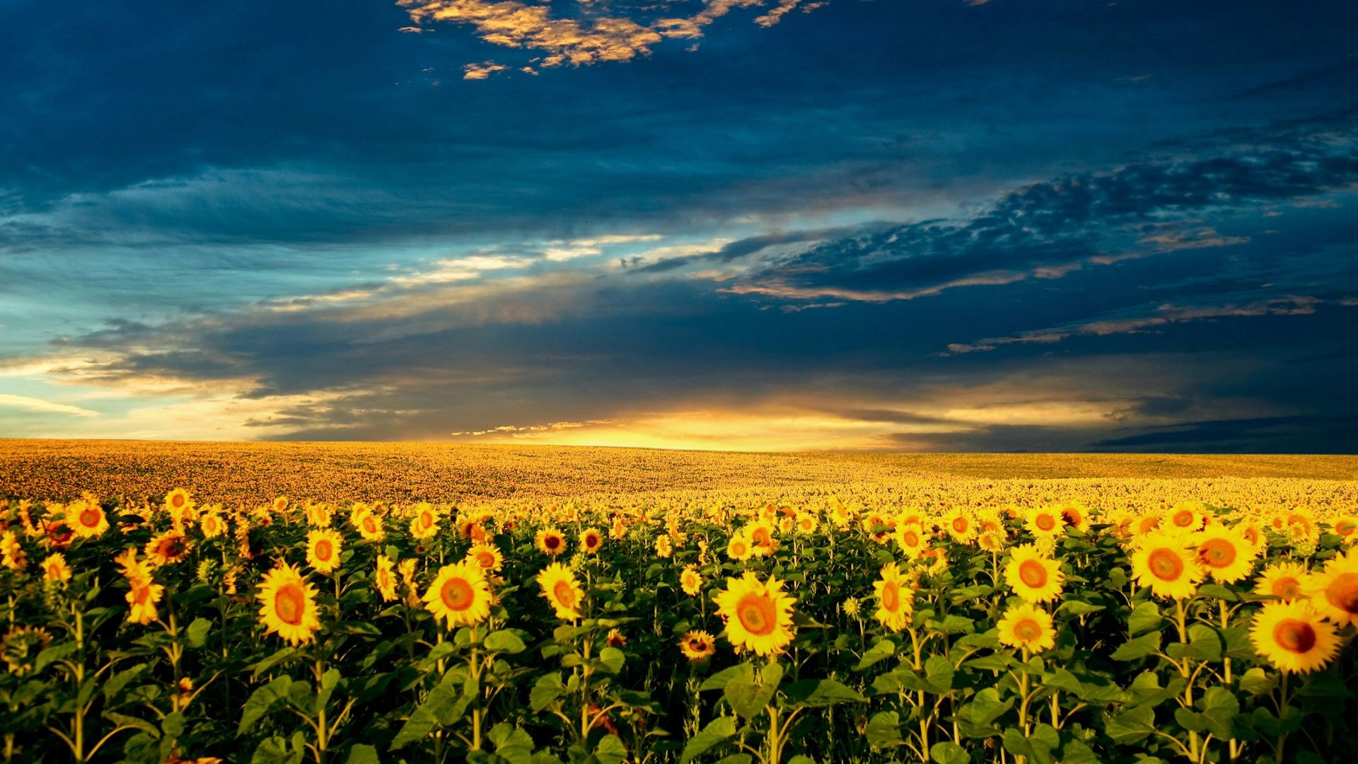 sunflower wallpapers 72 images