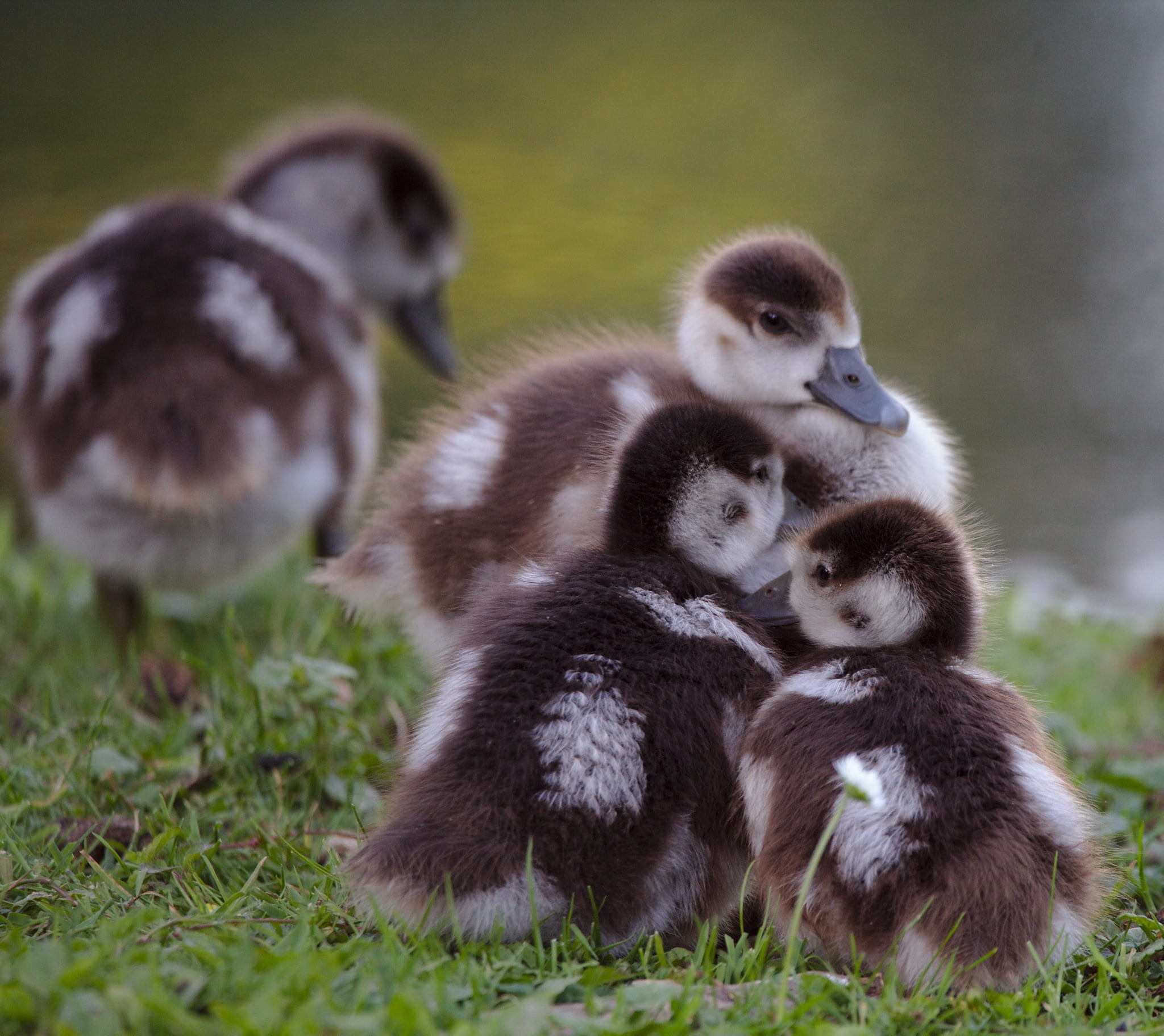 2048x1824 Selective focus photography of three ducklings HD wallpaper | Wallpaper  Flare