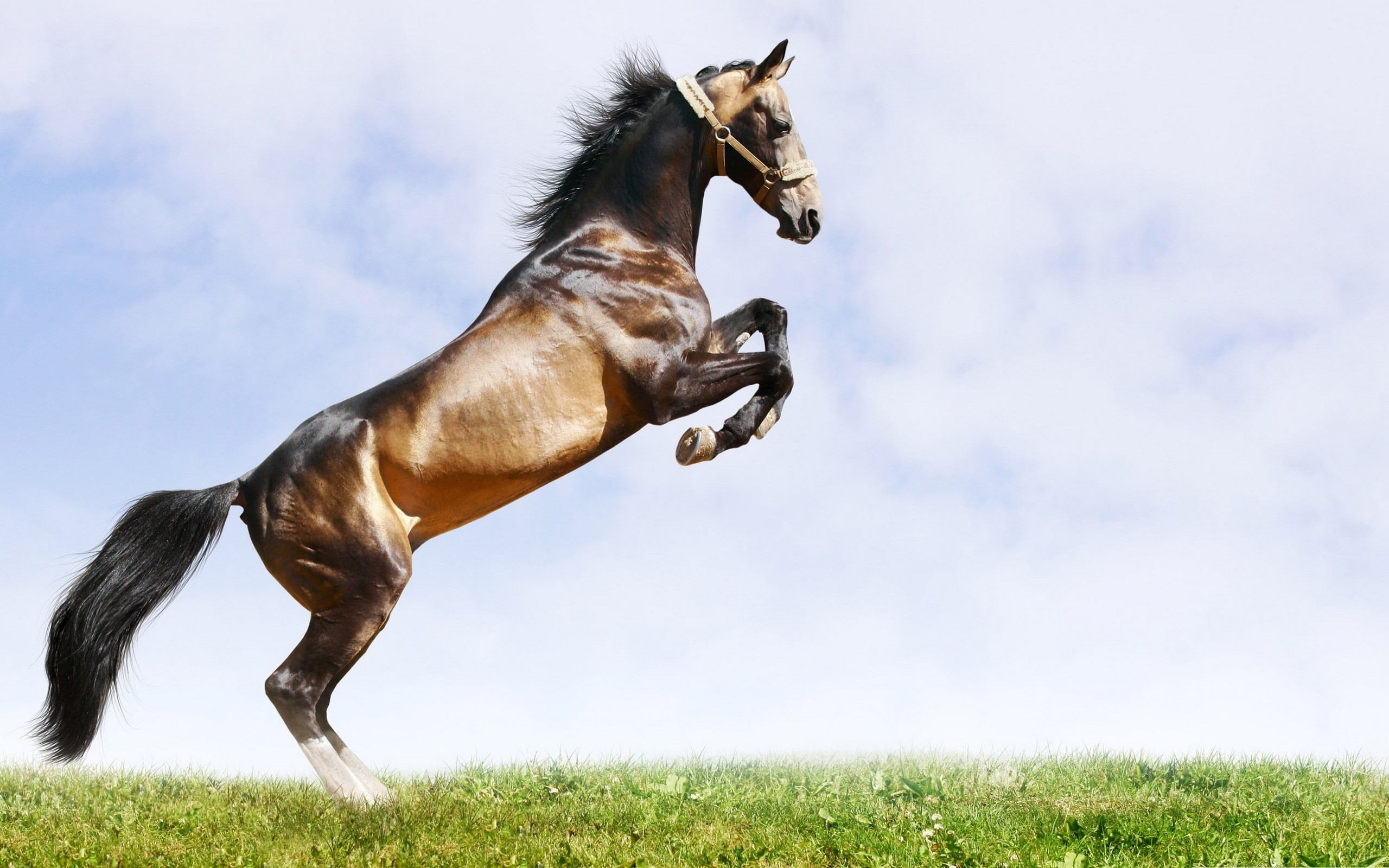 2560x1600 gif horse images | Home - Wallpapers / Photographs - Animals - Brown horse