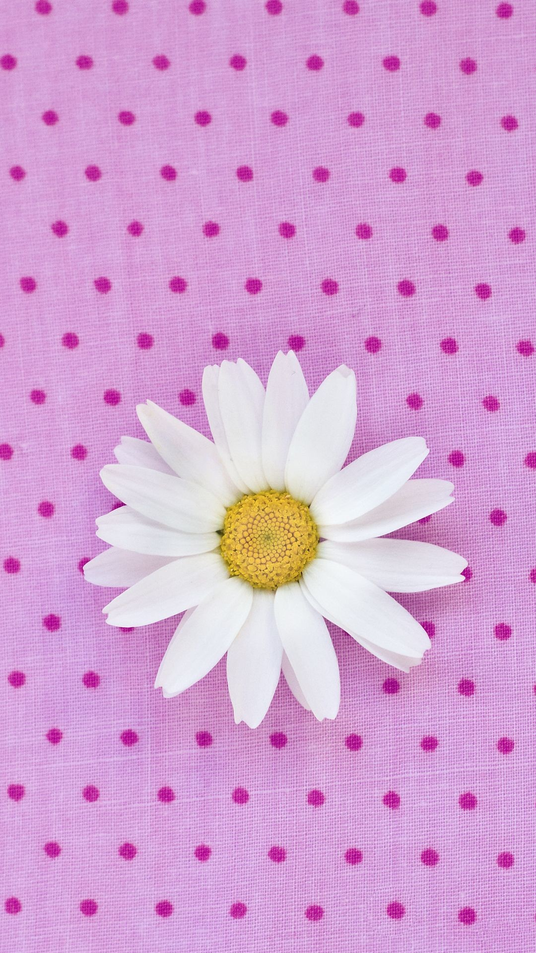 Pink Daisy Wallpaper 61 Images