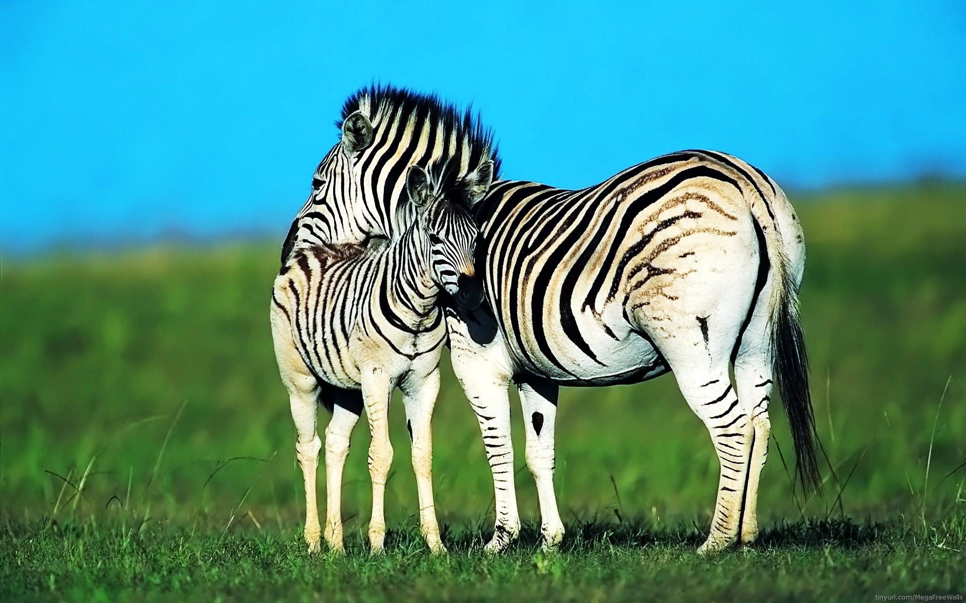 Zebra Desktop Backgrounds (71+ images)