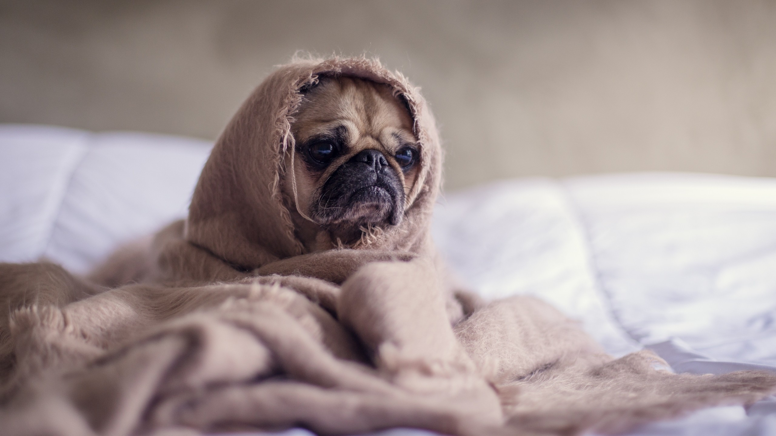 2560x1440 Preview wallpaper pug, dog, blanket