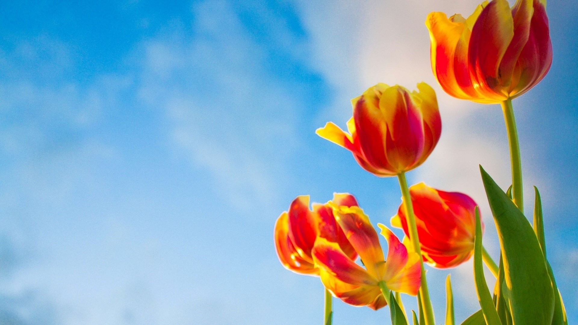 1920x1080 flower flowers flowers tulips sky background wallpaper widescreen full  screen widescreen hd wallpapers background wallpaper widescreen