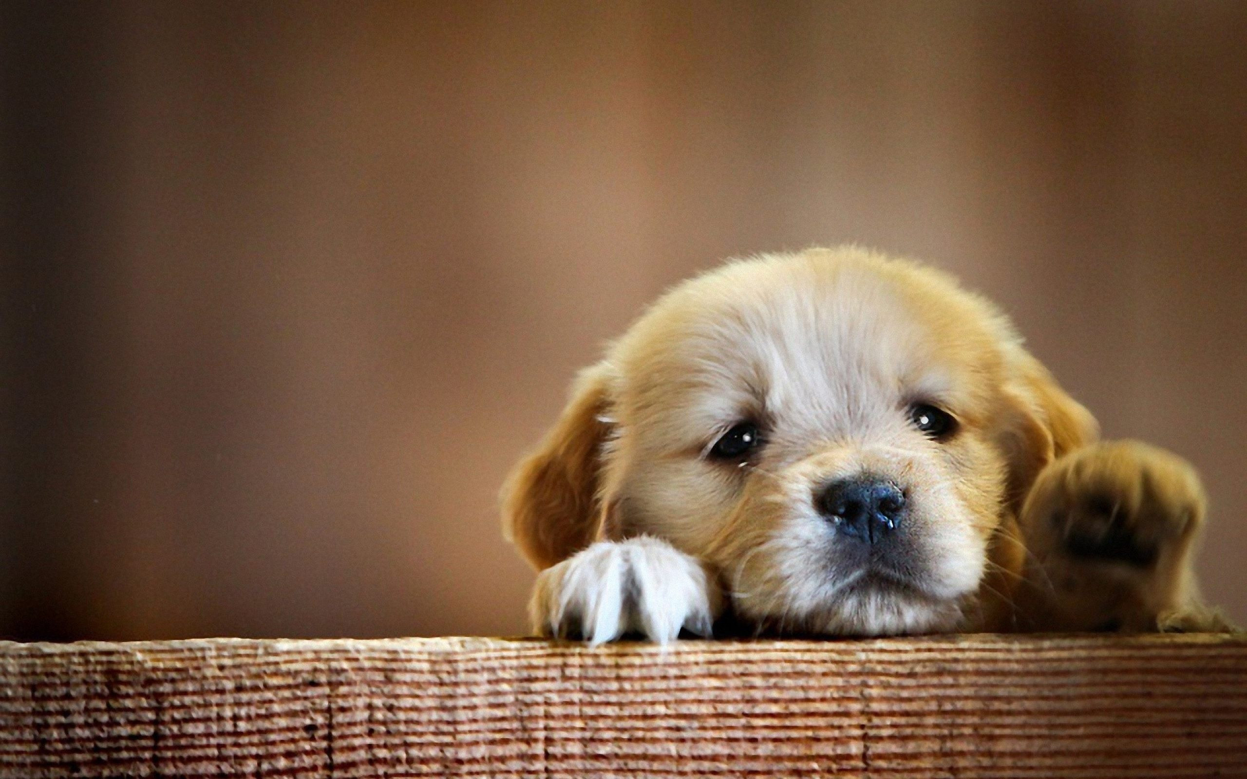 2560x1600 Splendid Cute Puppy Wallpaper along with Astonishing The Cutest Puppy Ever  Wallpaper