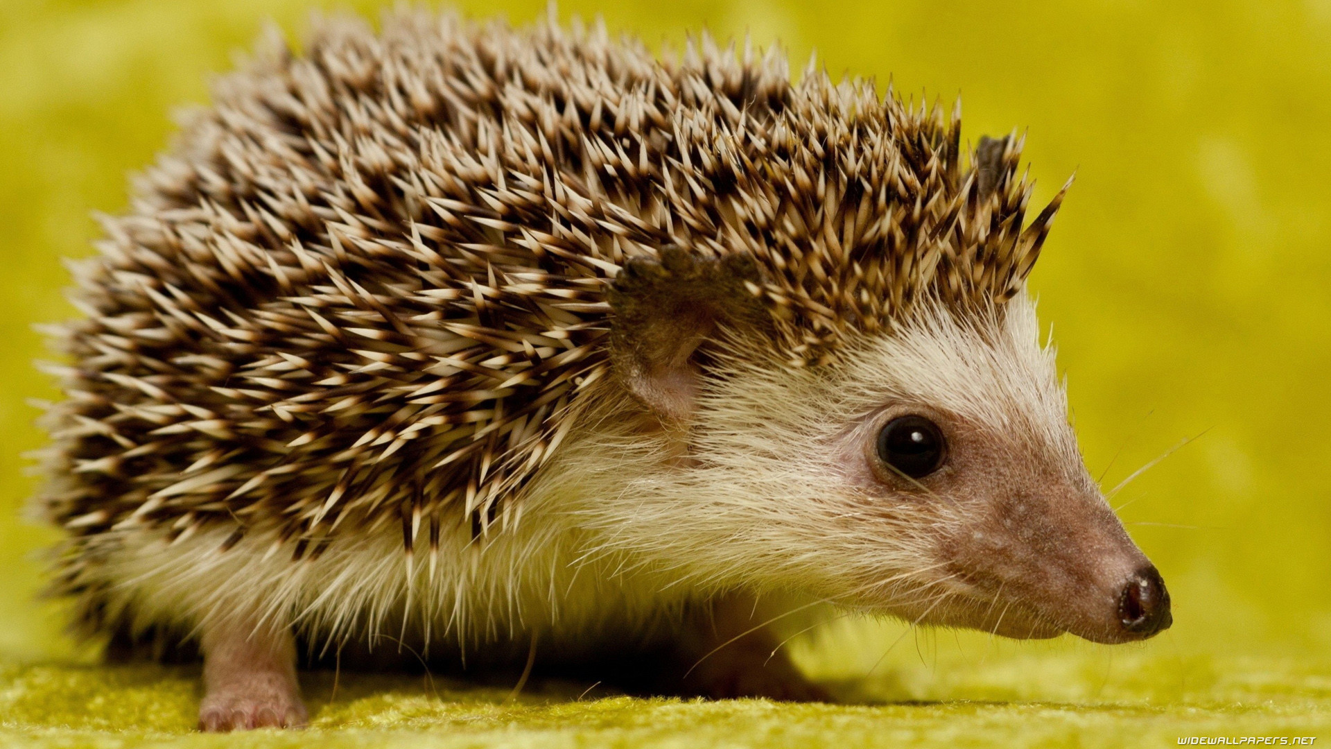 1920x1080 Hedgehogs wide wallpapers and HD wallpapers