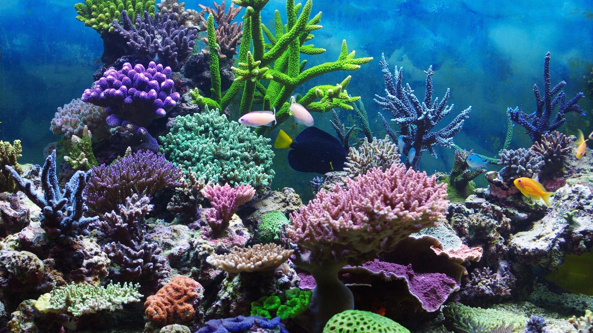 1920x1080 Coral Reefs Tropical Reef Underwater Ocean Desktop Backgrounds : Coral Reefs  for HD 16:9