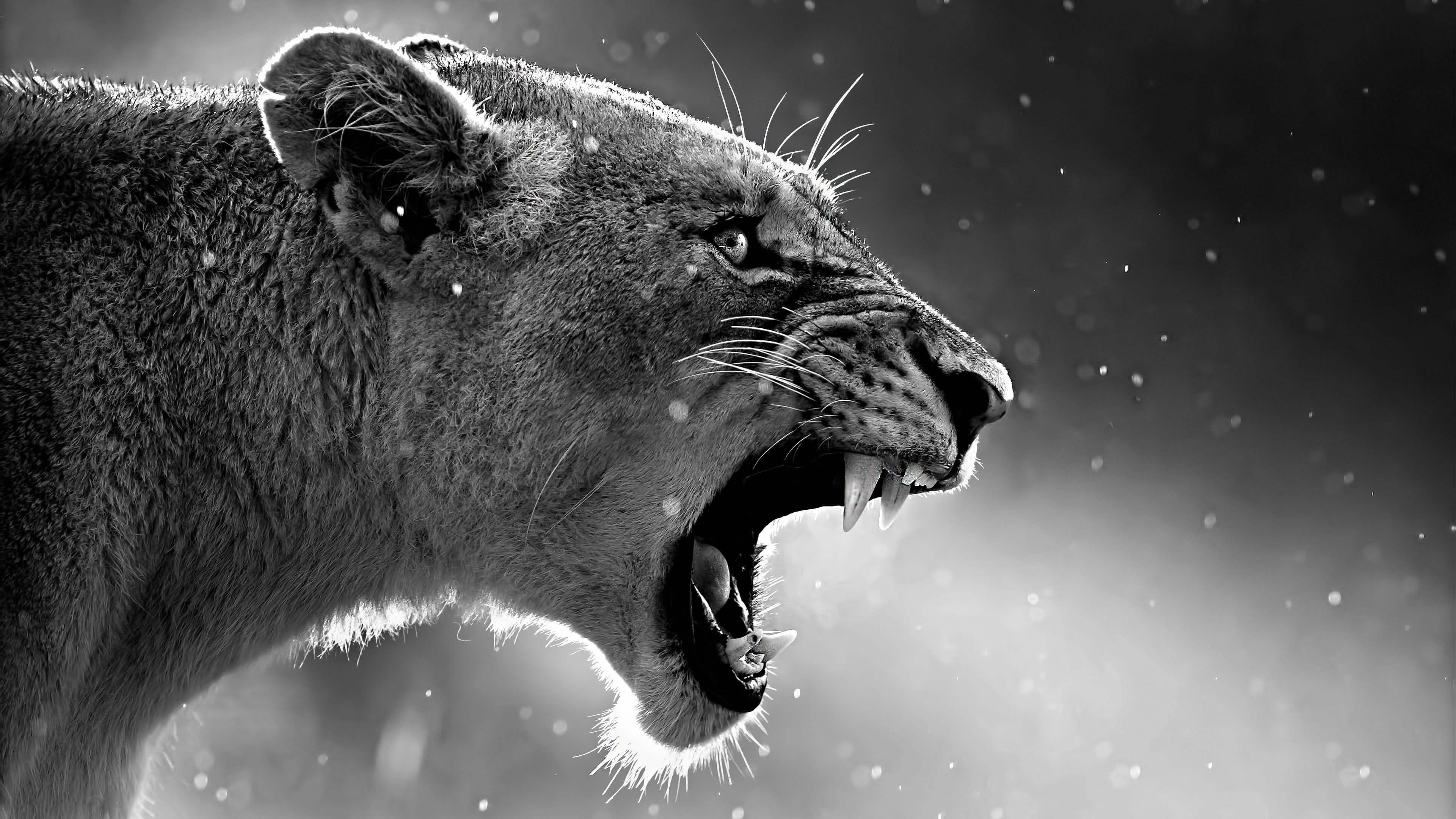 Lion Wallpaper Desktop 68 Images