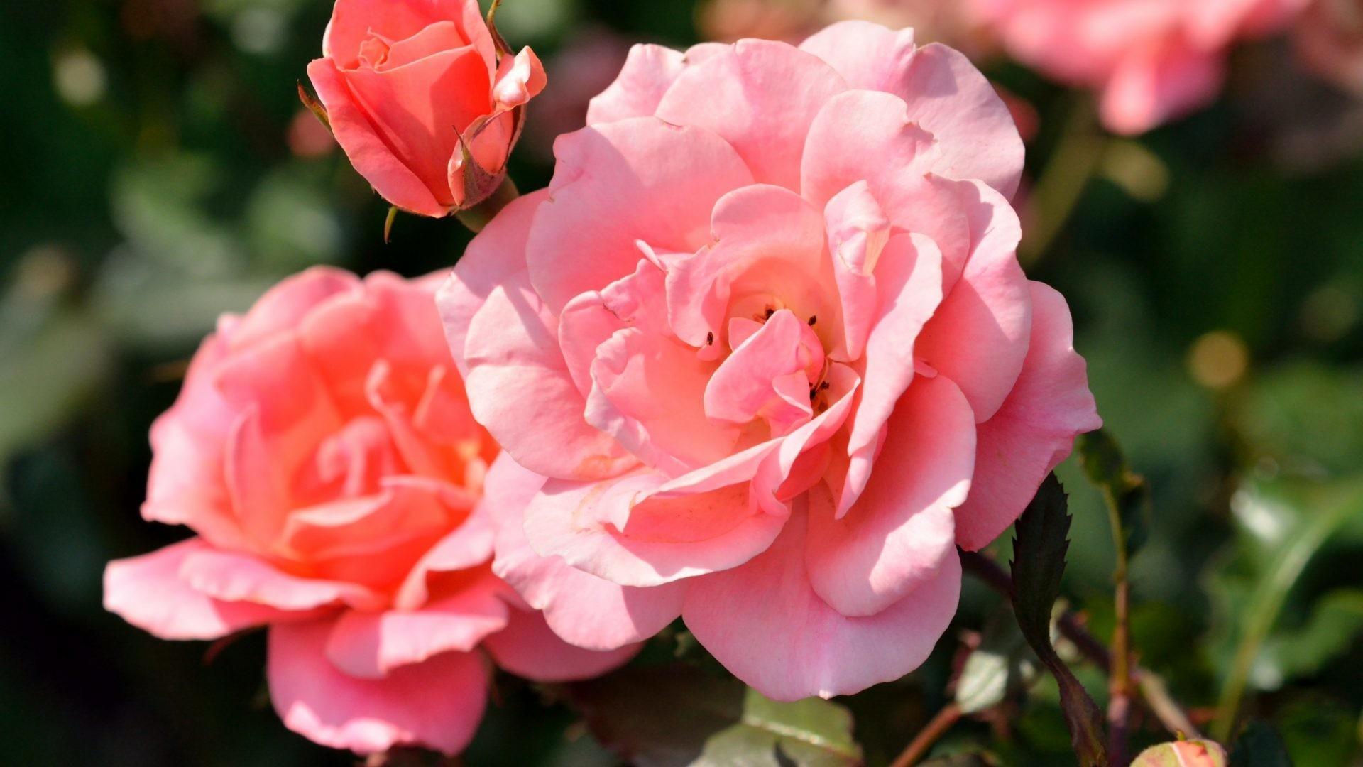 Roses wallpaper screensavers 34 images - Rose screensaver ...