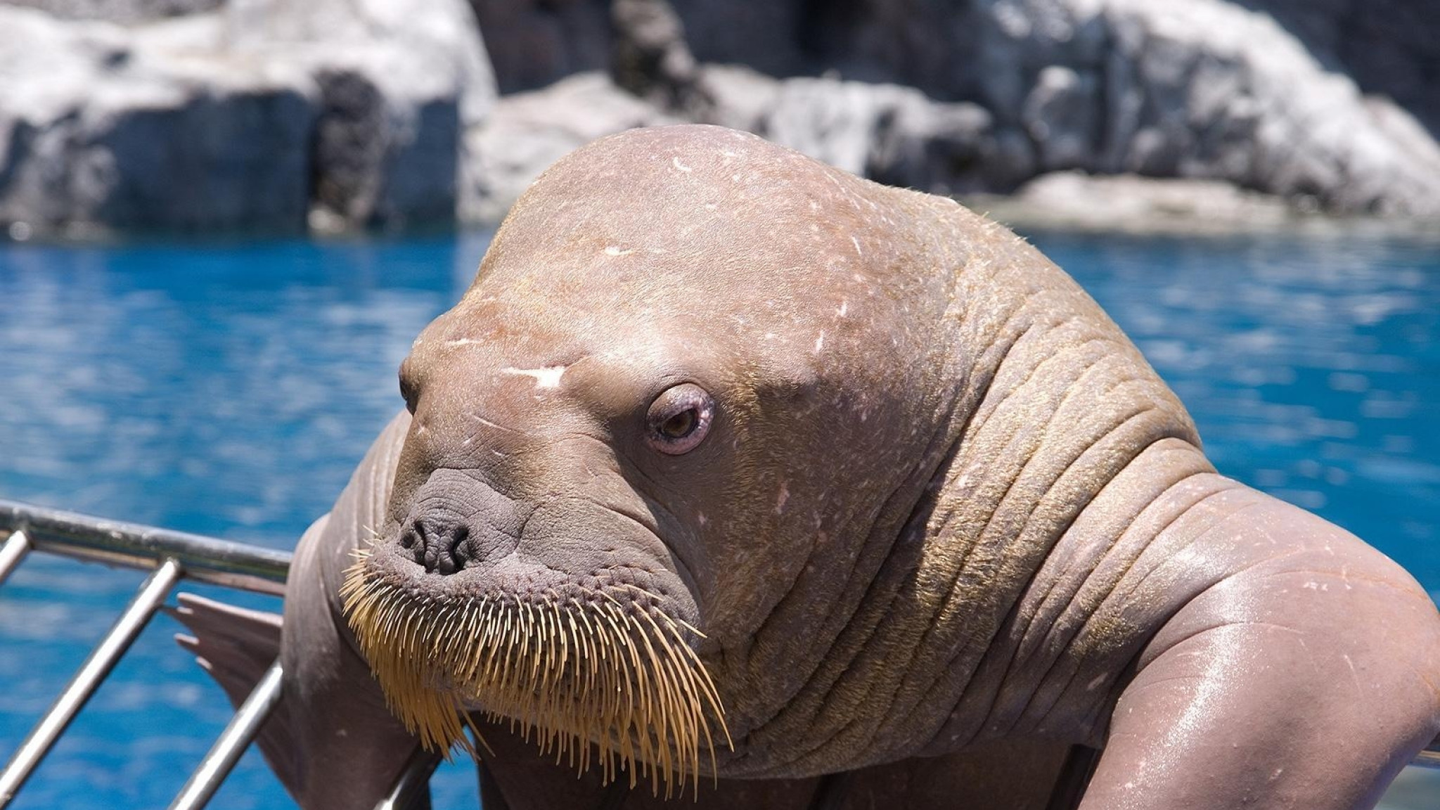 2048x1152 Preview wallpaper walrus, face, sea, dweller, old, seal