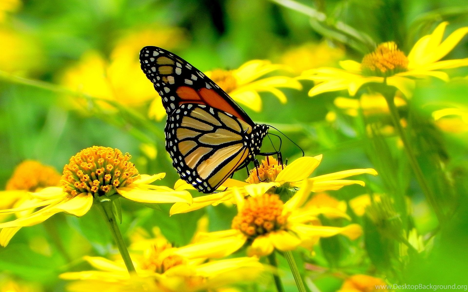 1920x1200 MONARCH BUTTERFLY FLOWERS Online Wallpapers HD