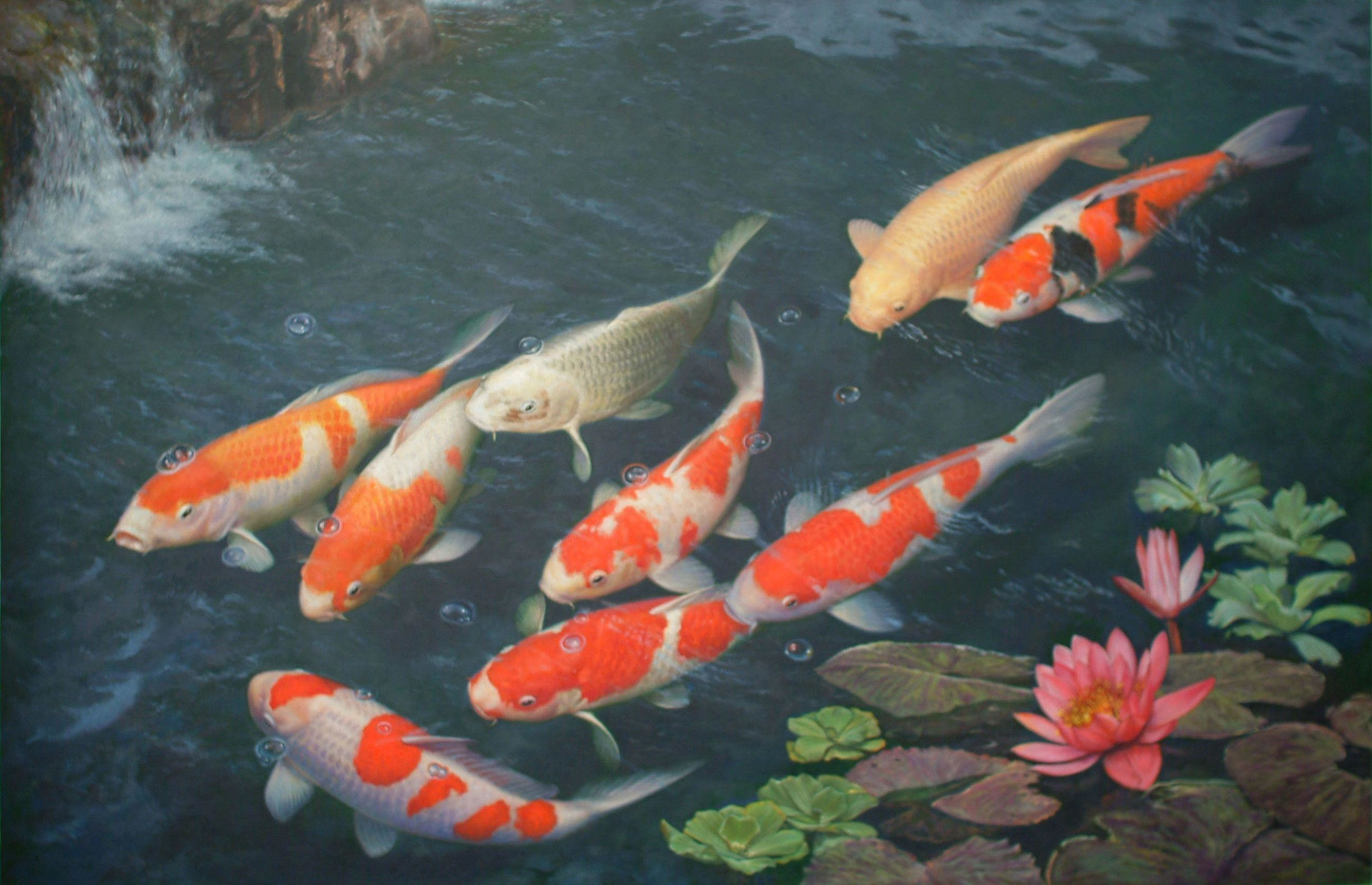 2594x1674 Download Amazing Koi Fish Background Wallpaper #3074 Fish Wallpaper