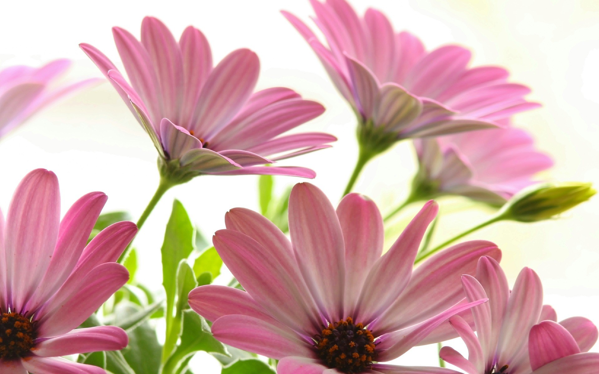 1920x1200 Pink Daisies Wallpaper Flowers Nature Wallpapers