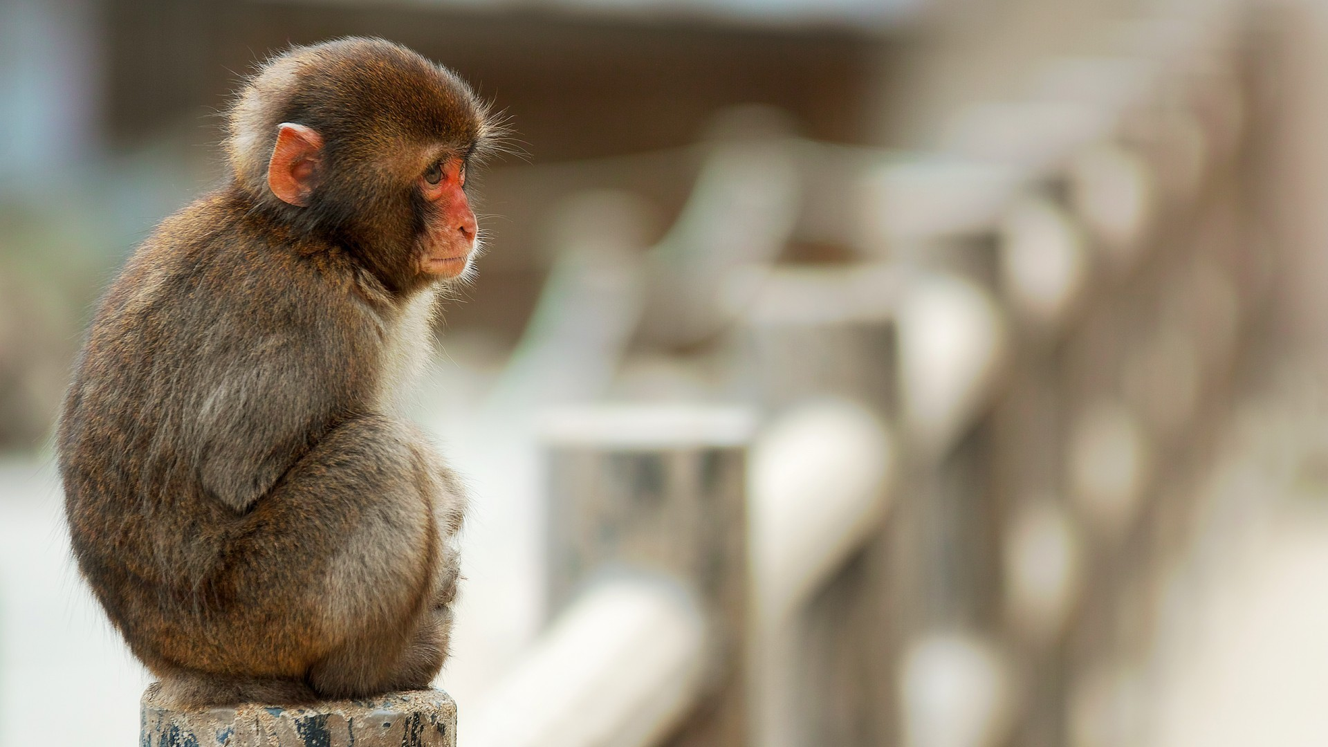 Cute baby monkey wallpapers