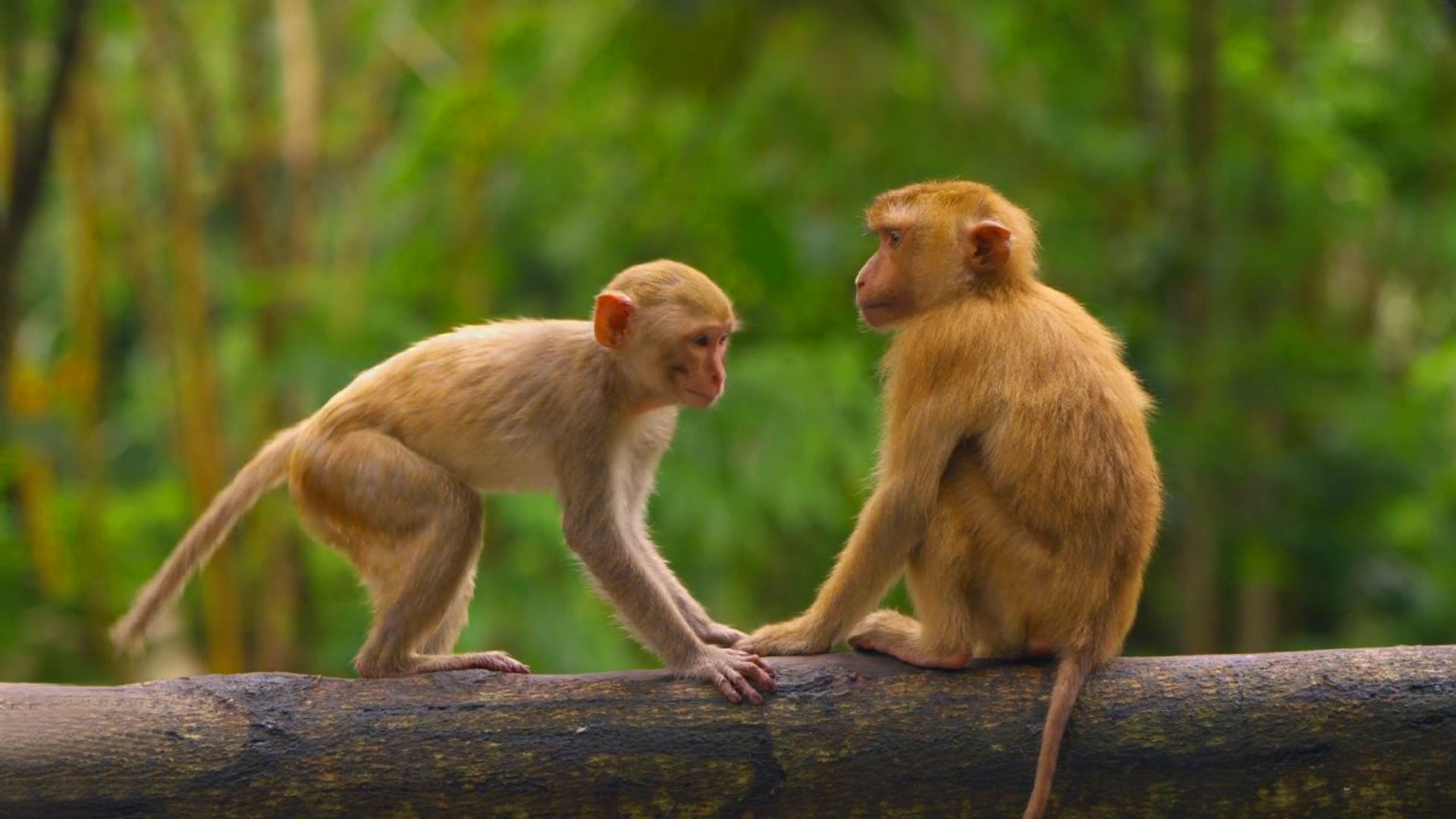 1920x1080 hd pics photos stunning attractive animals monkeys new wildlife photography  hd desktop background wallpaper