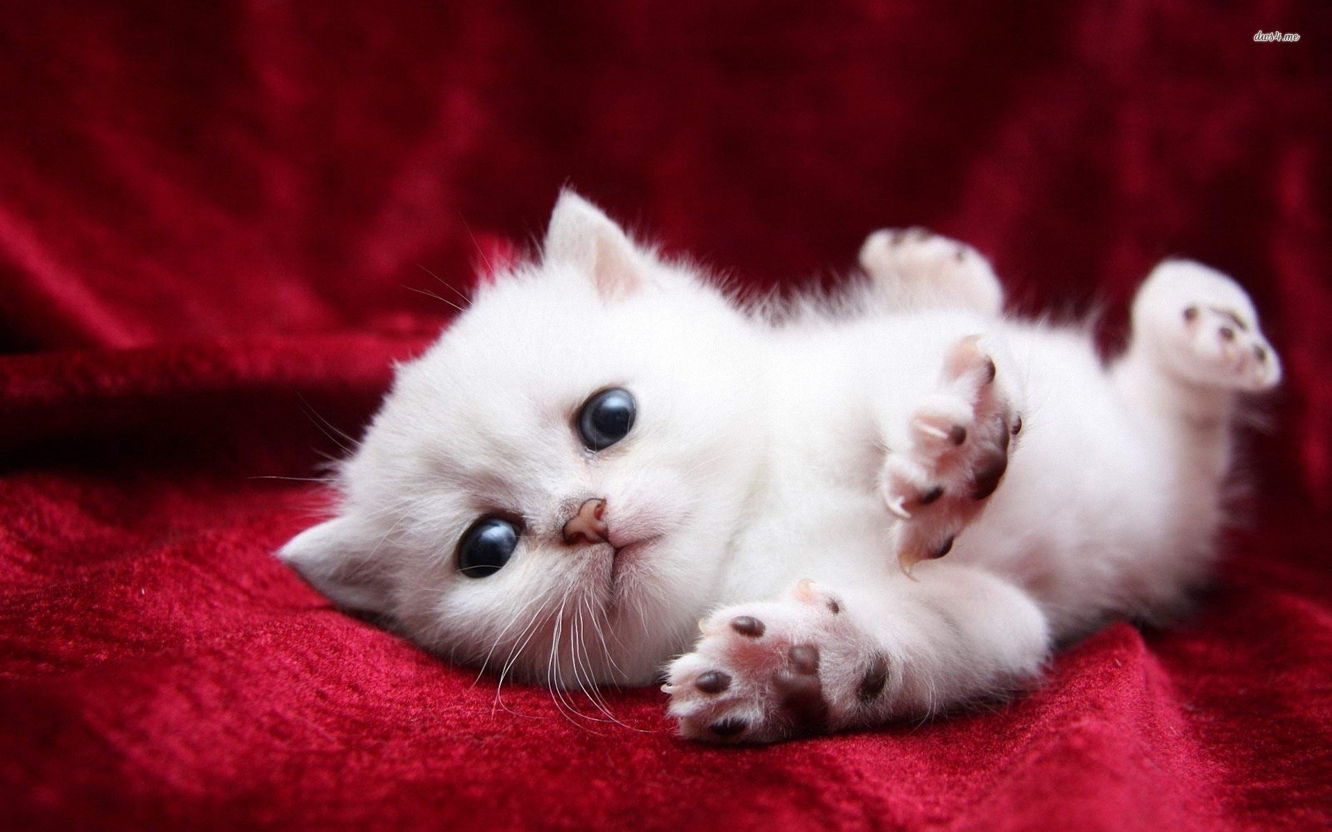 1920x1200 White Cats And Kittens Wallpapers