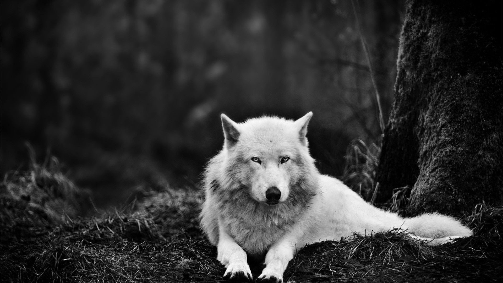 1920x1080  Full HD p Wolf Wallpapers HD, Desktop Backgrounds White Wolves  Wallpapers Wallpapers)