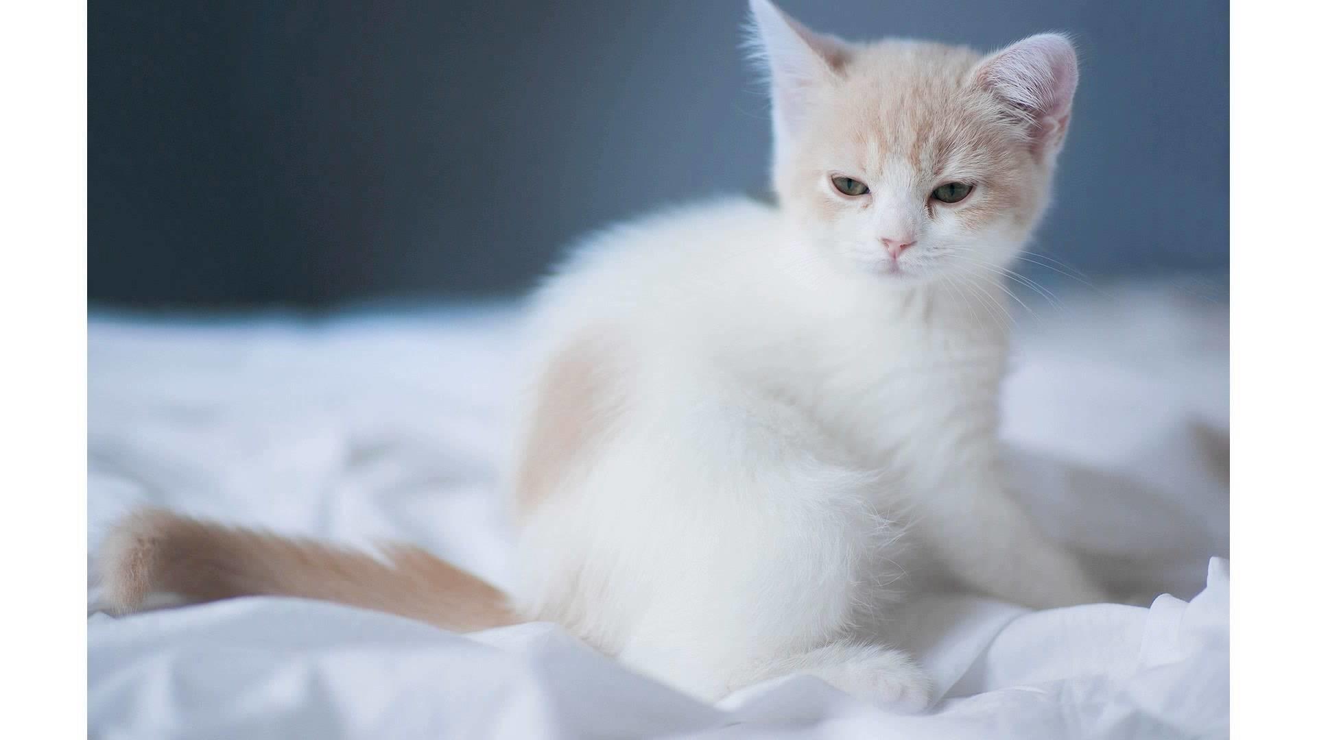 1920x1080 Cute White Cat Wallpaper