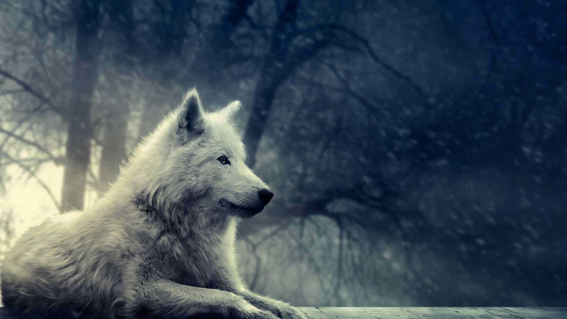 1920x1080 hd grey wolf facts and pictures