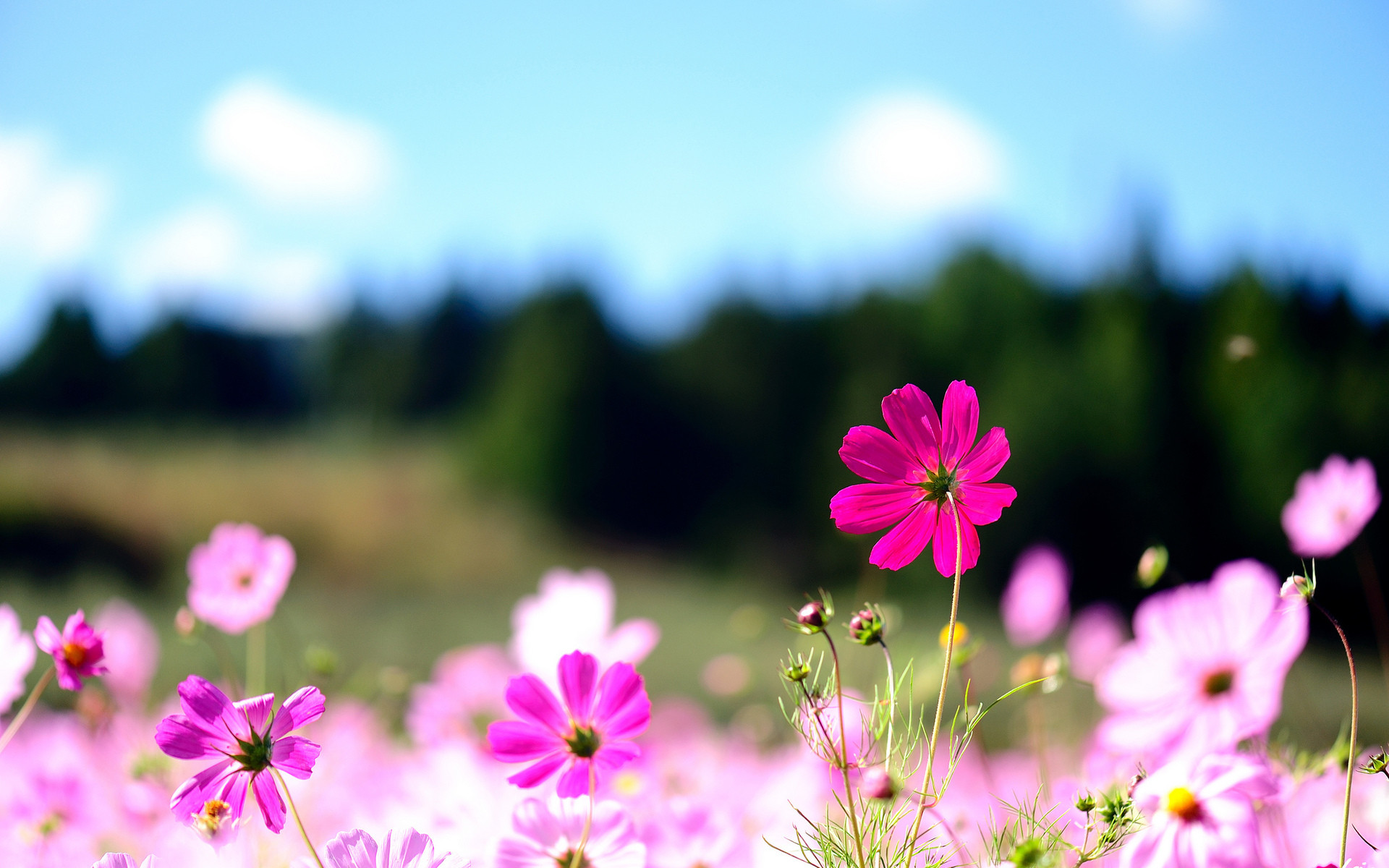 1920x1200 Cool Flowers Desktop Backgrounds: Pink Flowers High Definition .