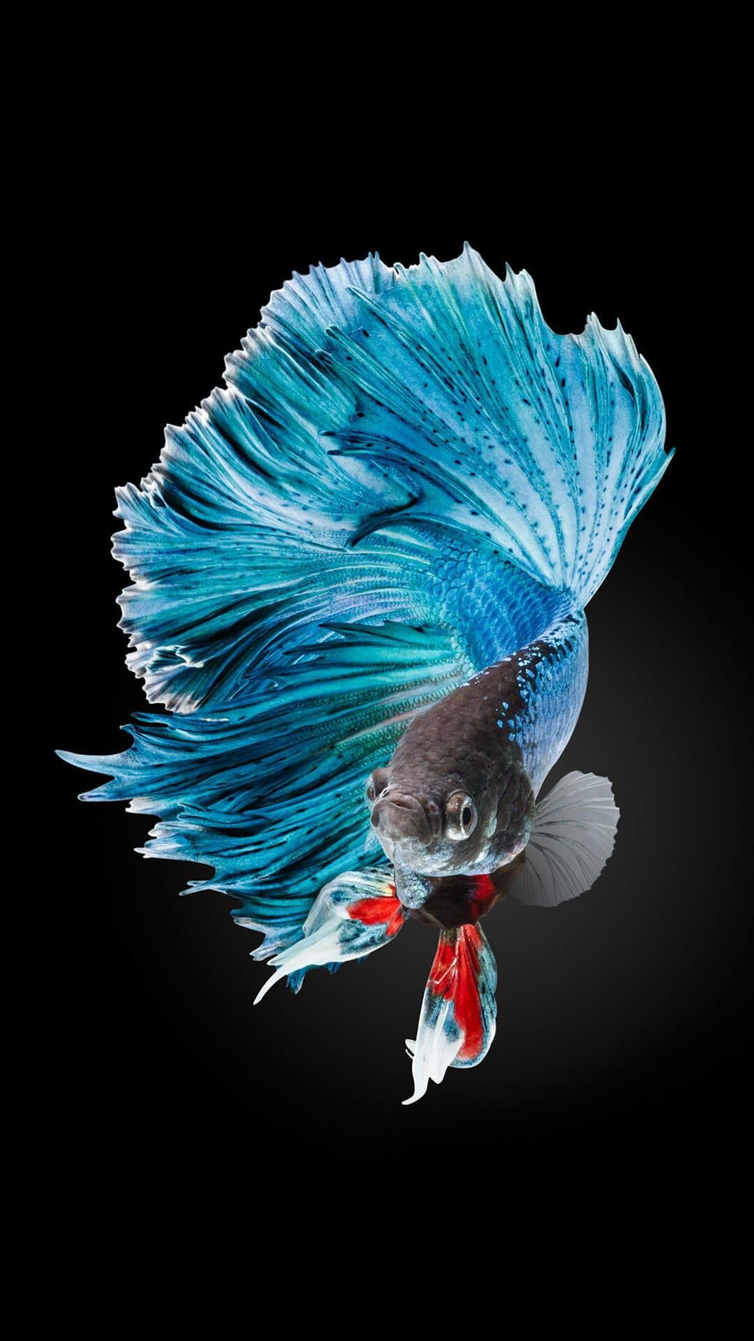1080x1920 Wallpaper iphone live - Betta Fish Images Iphone 6 And Iphone 6s. Download