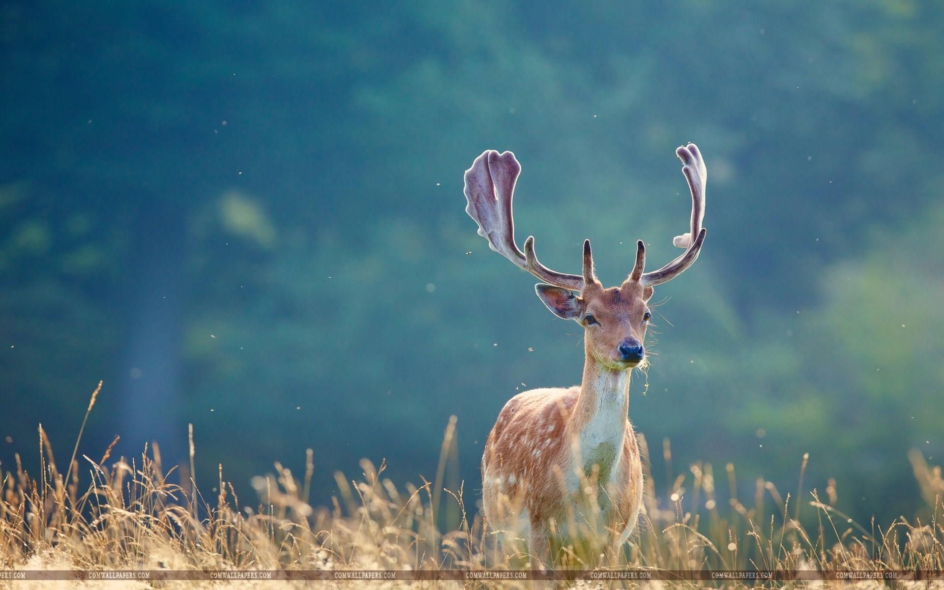 Whitetail Deer Wallpaper (58+ Images
