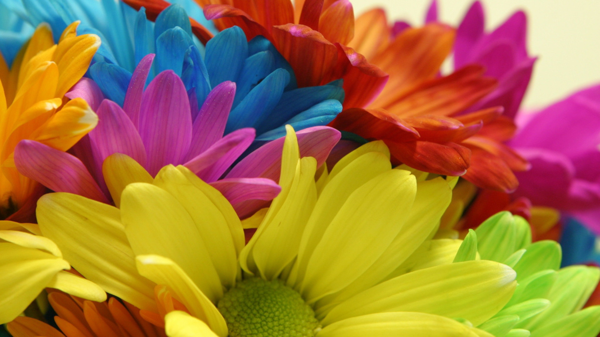 1920x1080 Rainbow daiseys. colorful+flowers+pictures | Colorful Daisy Flowers Send It  To Your