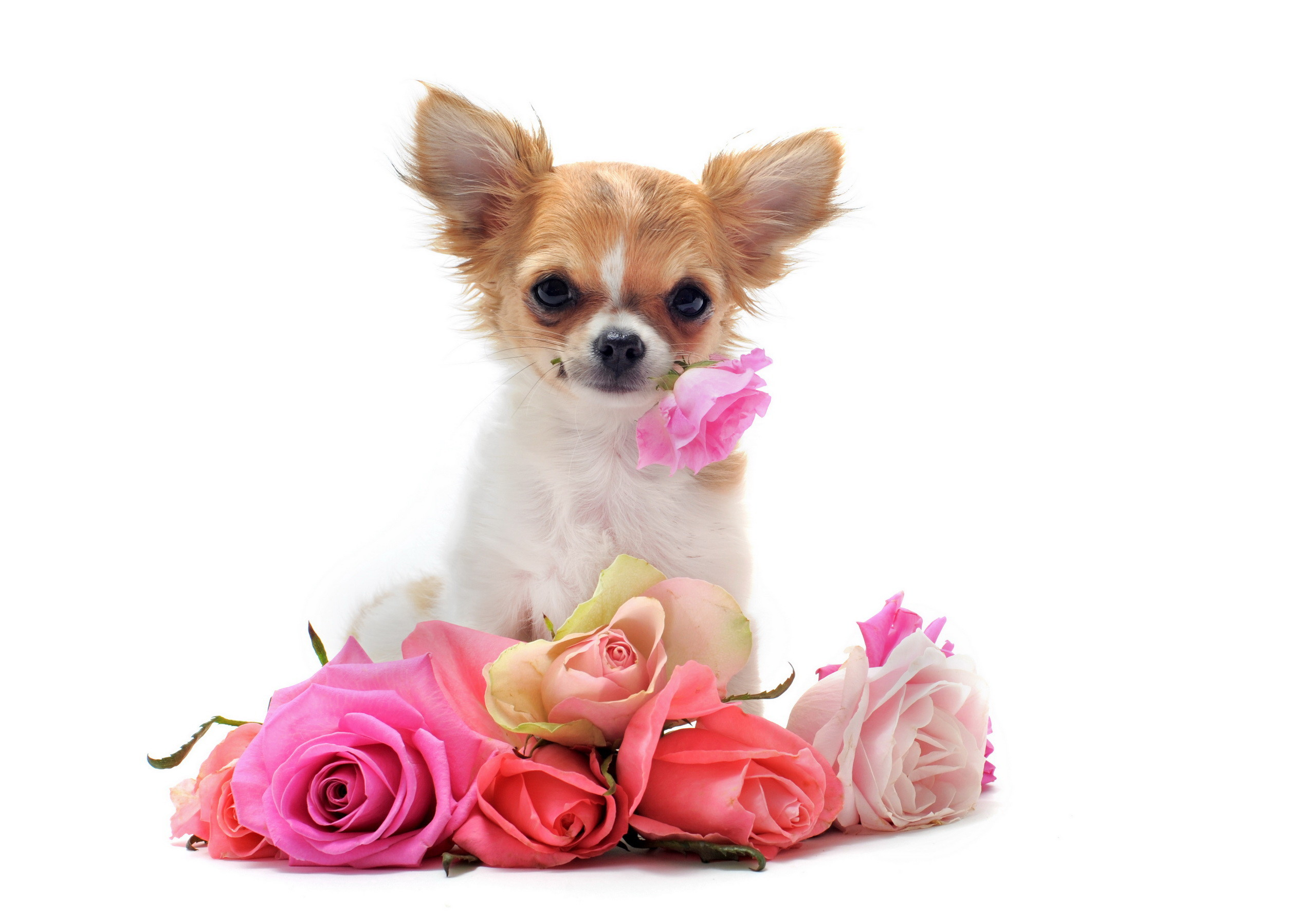 Chihuahua Dogs Wallpaper 53 Images