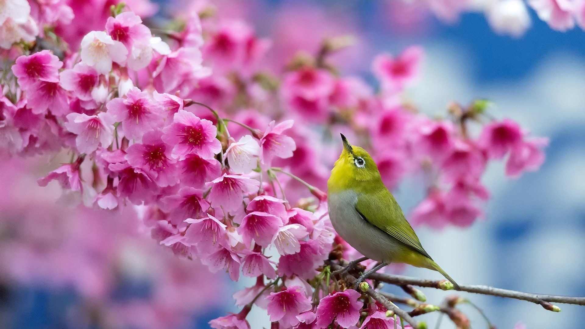 1920x1080 #224477 Color - Bird Flowers Flower Cherry Beauty Blossom Spring Branch Japanese  Wallpaper Photo Nature