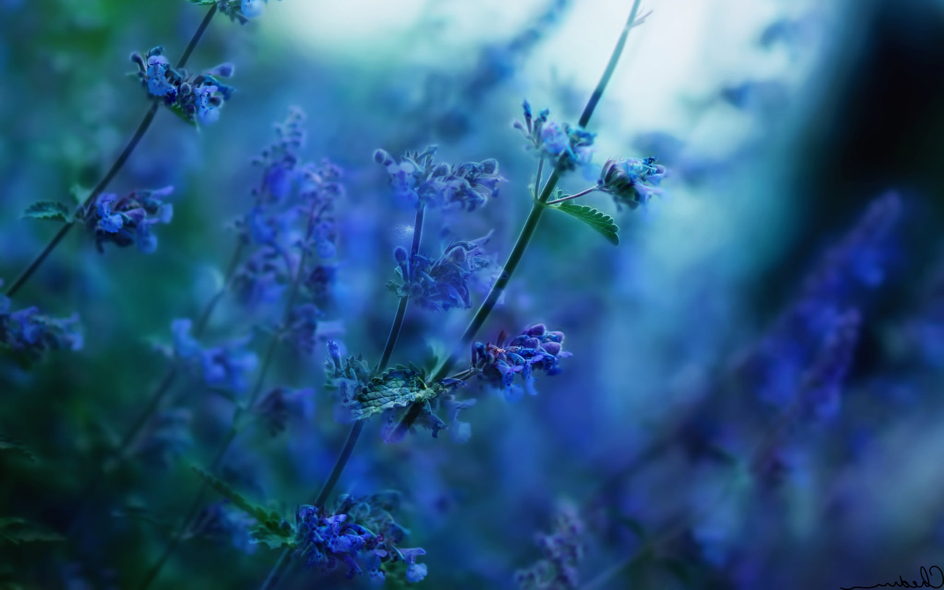 1920x1200 magnificent blue flower wallpaper ololoshenka Pinterest
