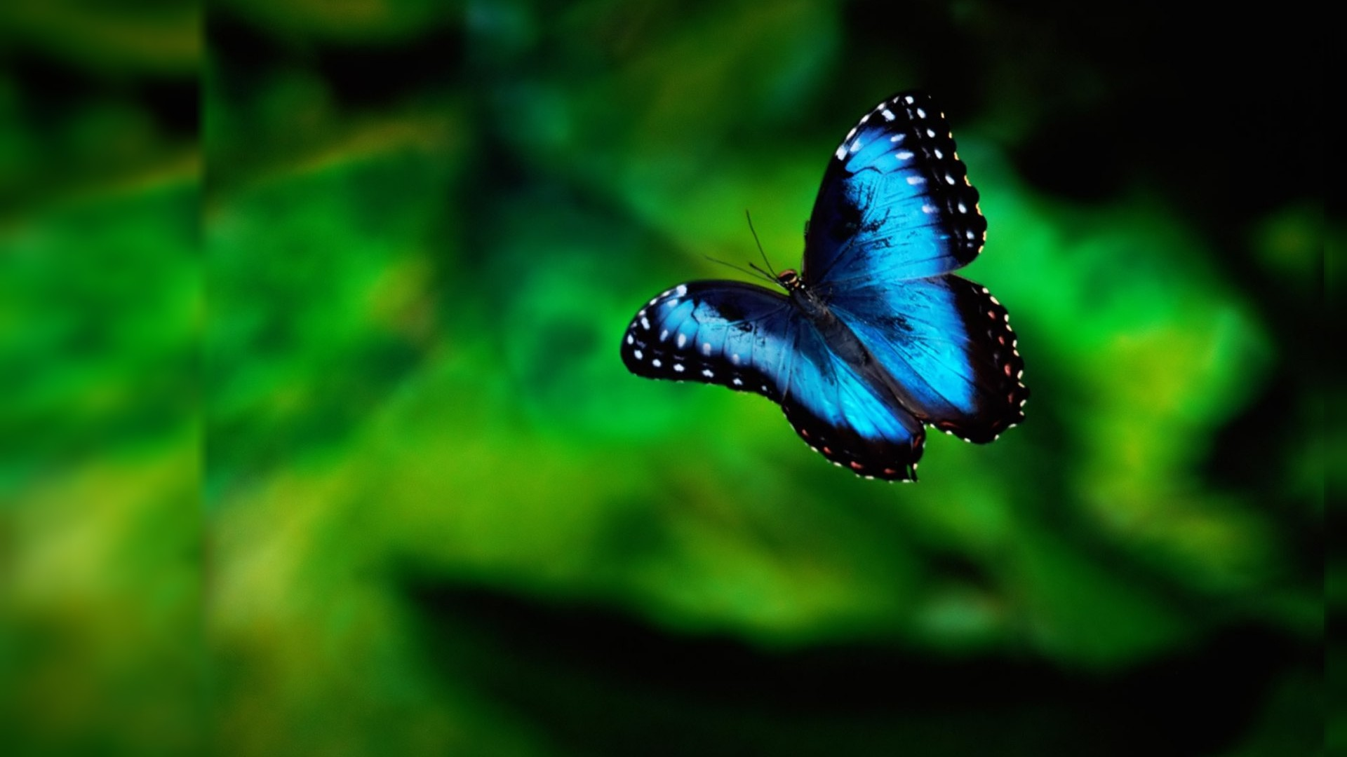 1920x1080 Blue Butterfly Wallpapers