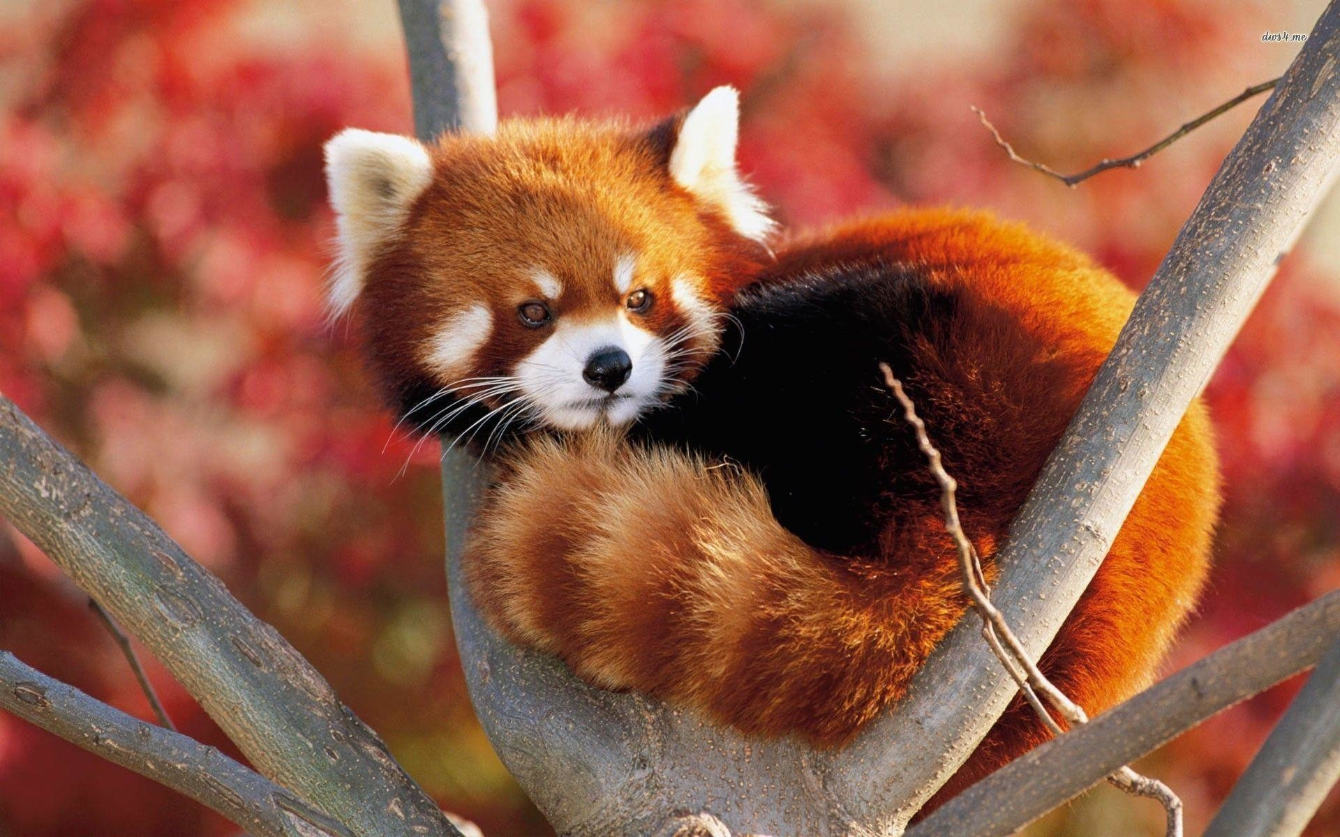 1920x1200 Wallpapers For > Baby Red Panda Wallpaper