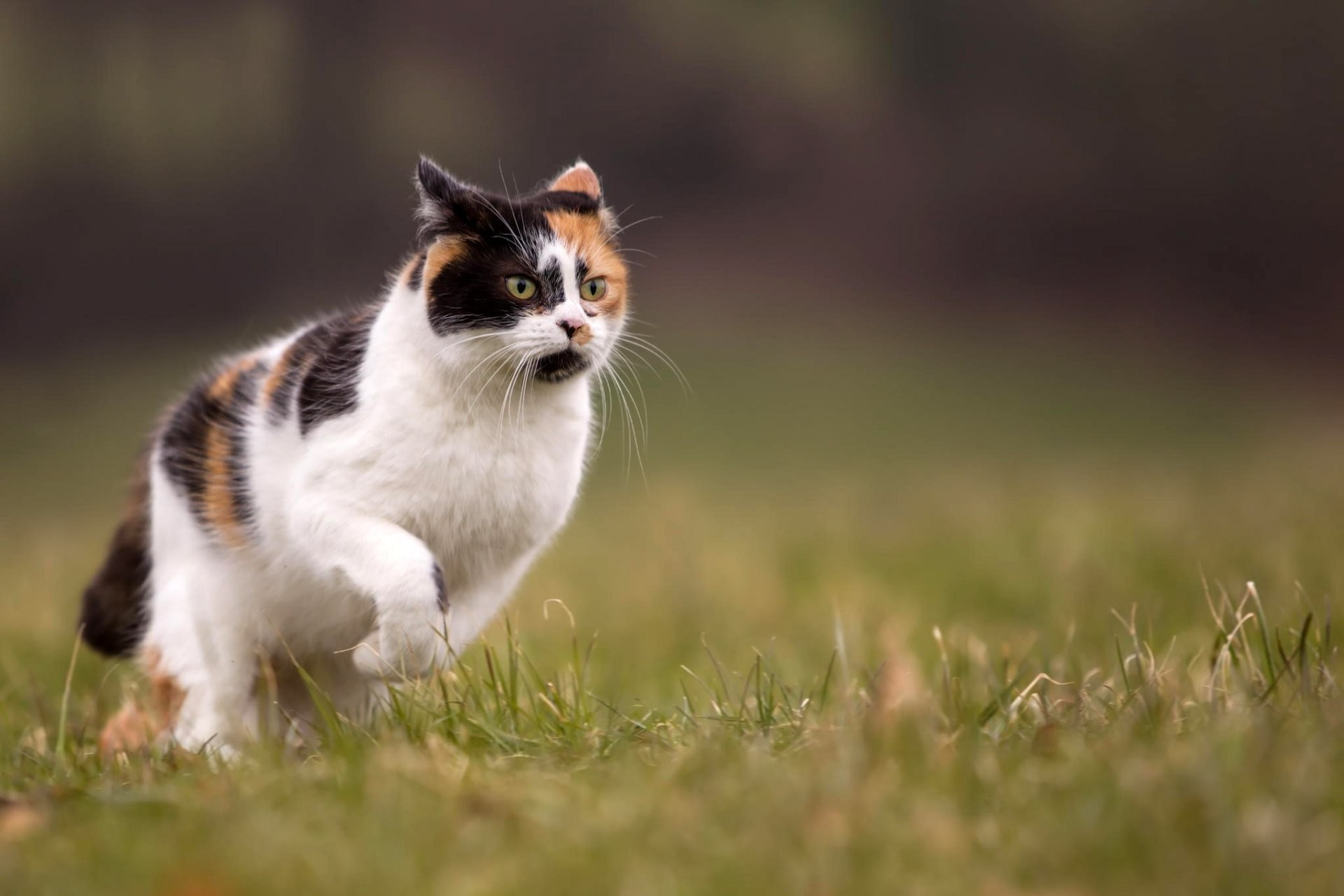 1920x1281 cat two-color running nature grass summer blur