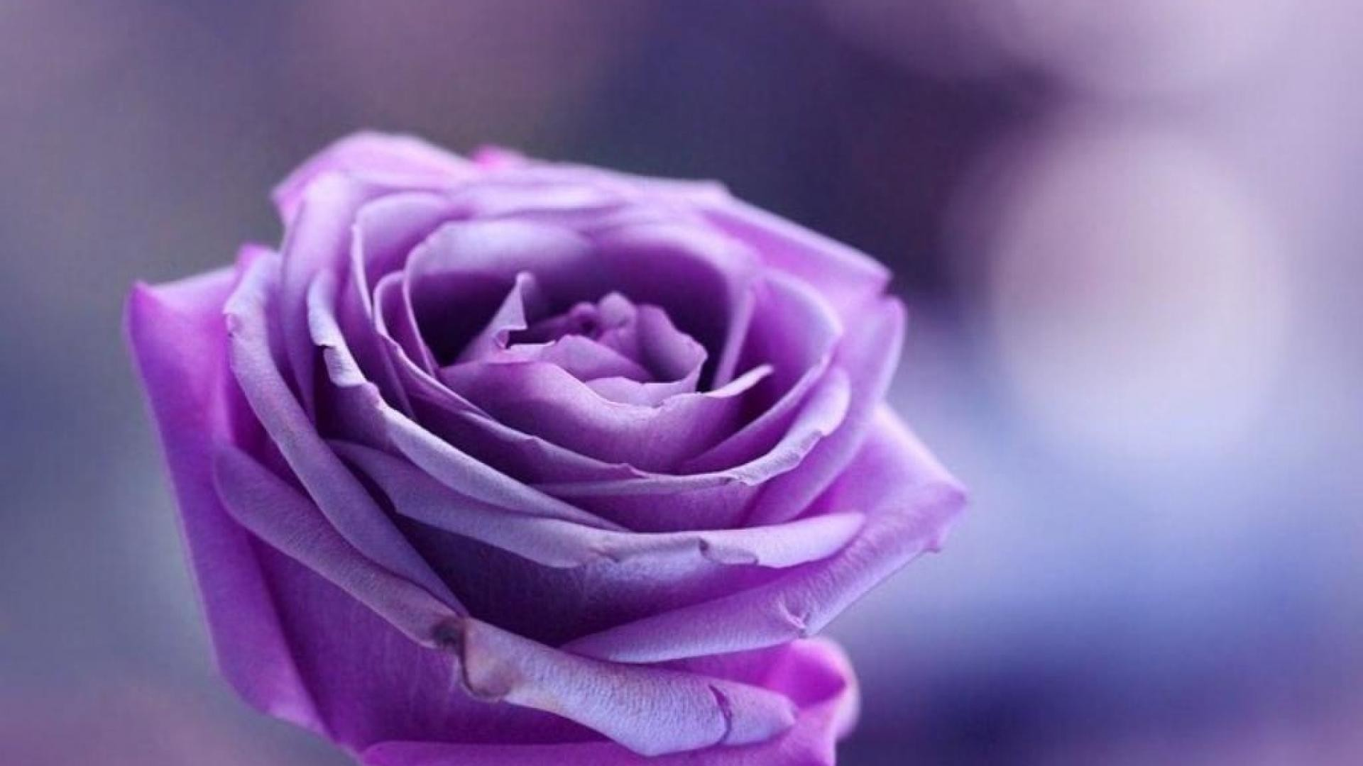 1920x1080 Purple rose on purple background wallpapers and images .